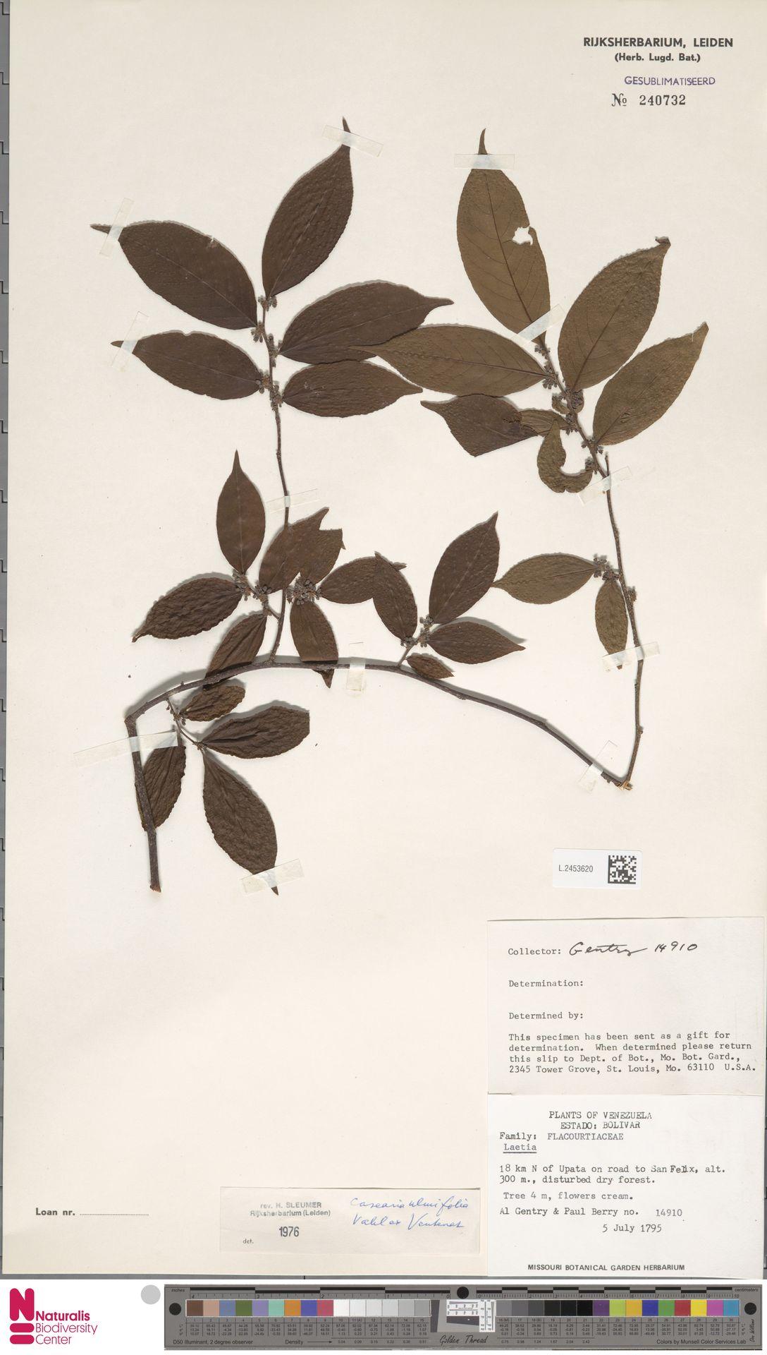 L.2453620 | Casearia ulmifolia Vahl ex Vent.