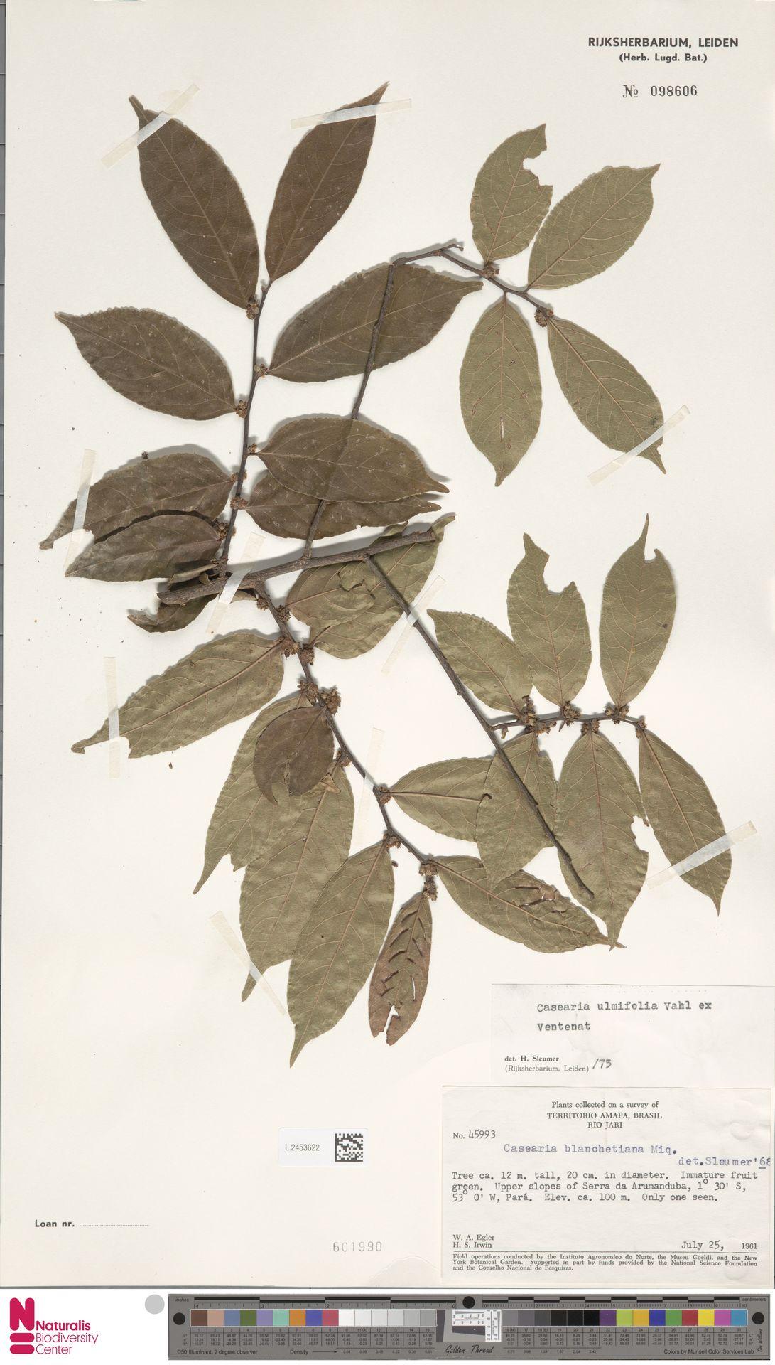 L.2453622 | Casearia ulmifolia Vahl ex Vent.