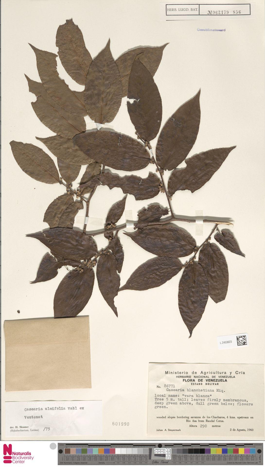 L.2453623 | Casearia ulmifolia Vahl ex Vent.