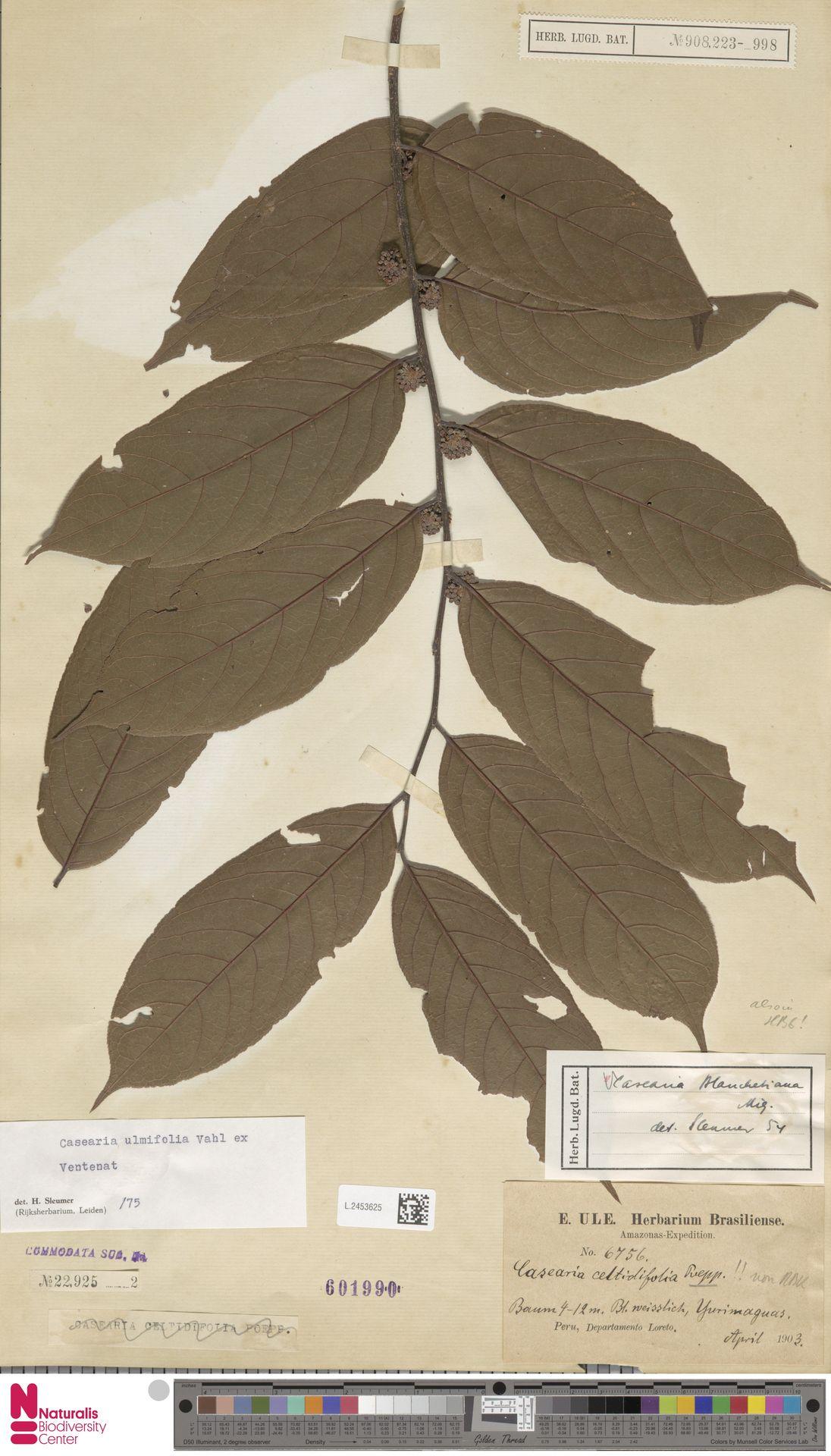 L.2453625 | Casearia ulmifolia Vahl ex Vent.