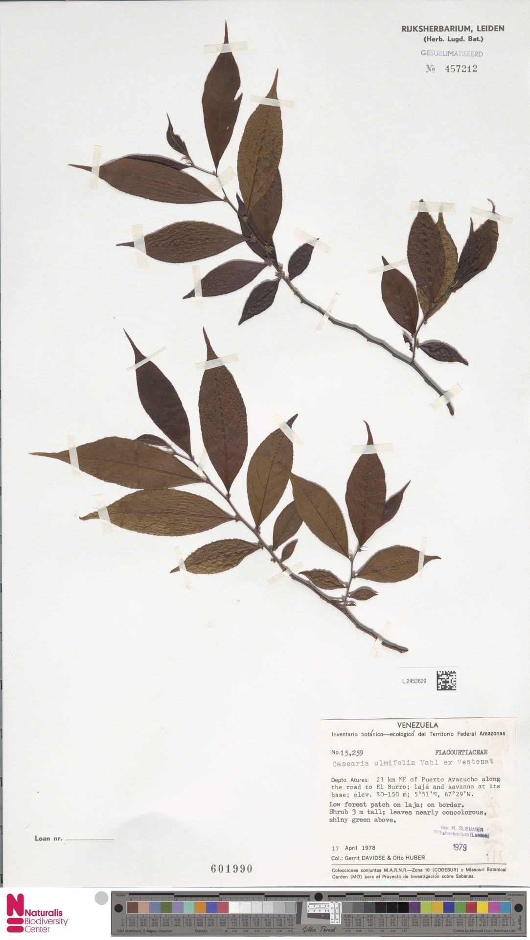 L.2453629 | Casearia ulmifolia Vahl ex Vent.