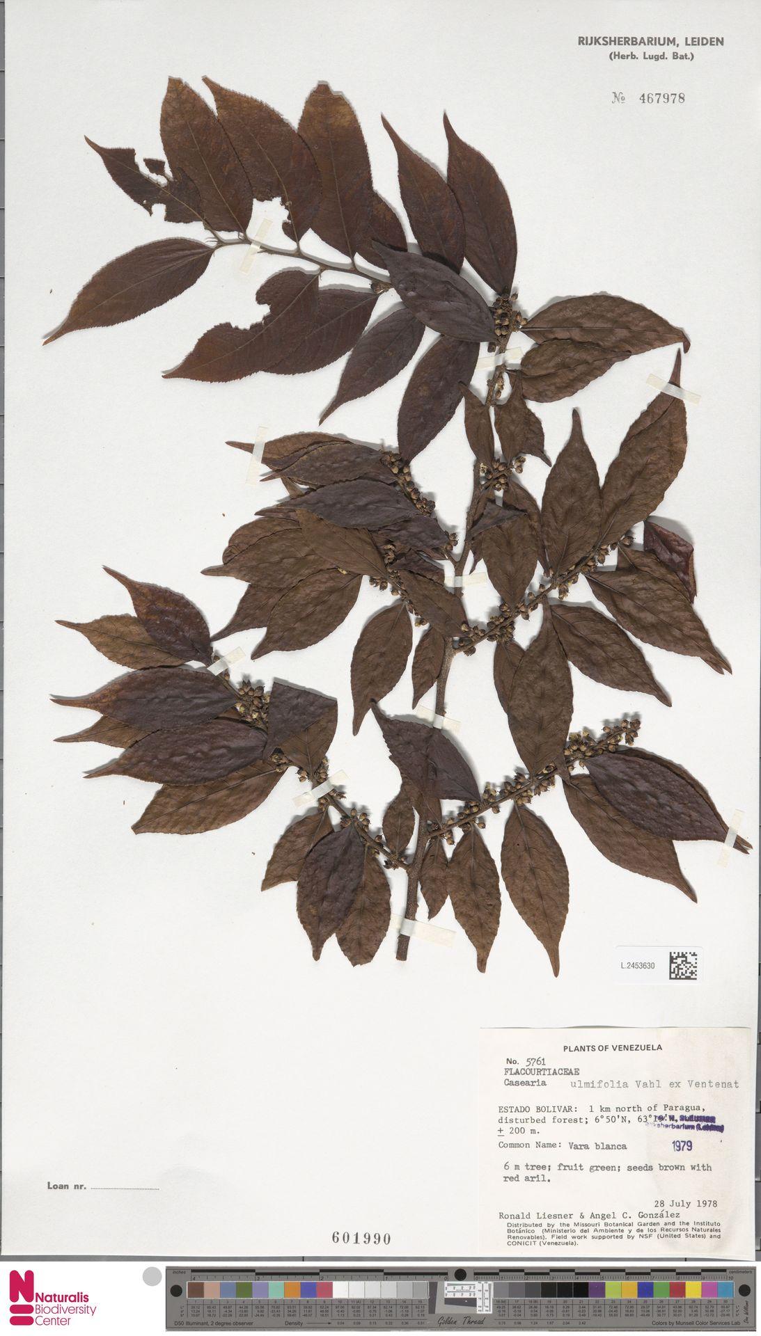 L.2453630 | Casearia ulmifolia Vahl ex Vent.