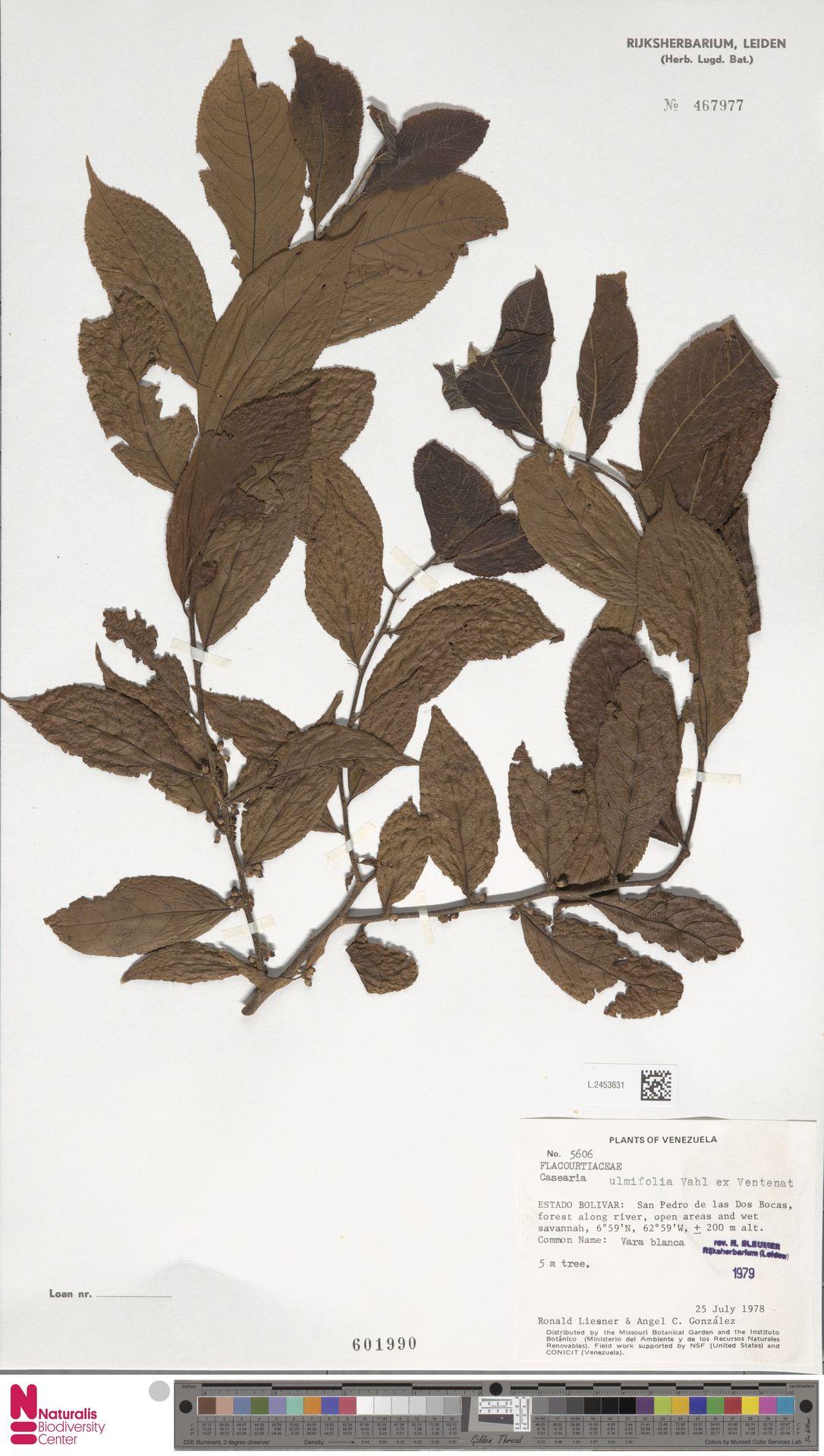 L.2453631 | Casearia ulmifolia Vahl ex Vent.