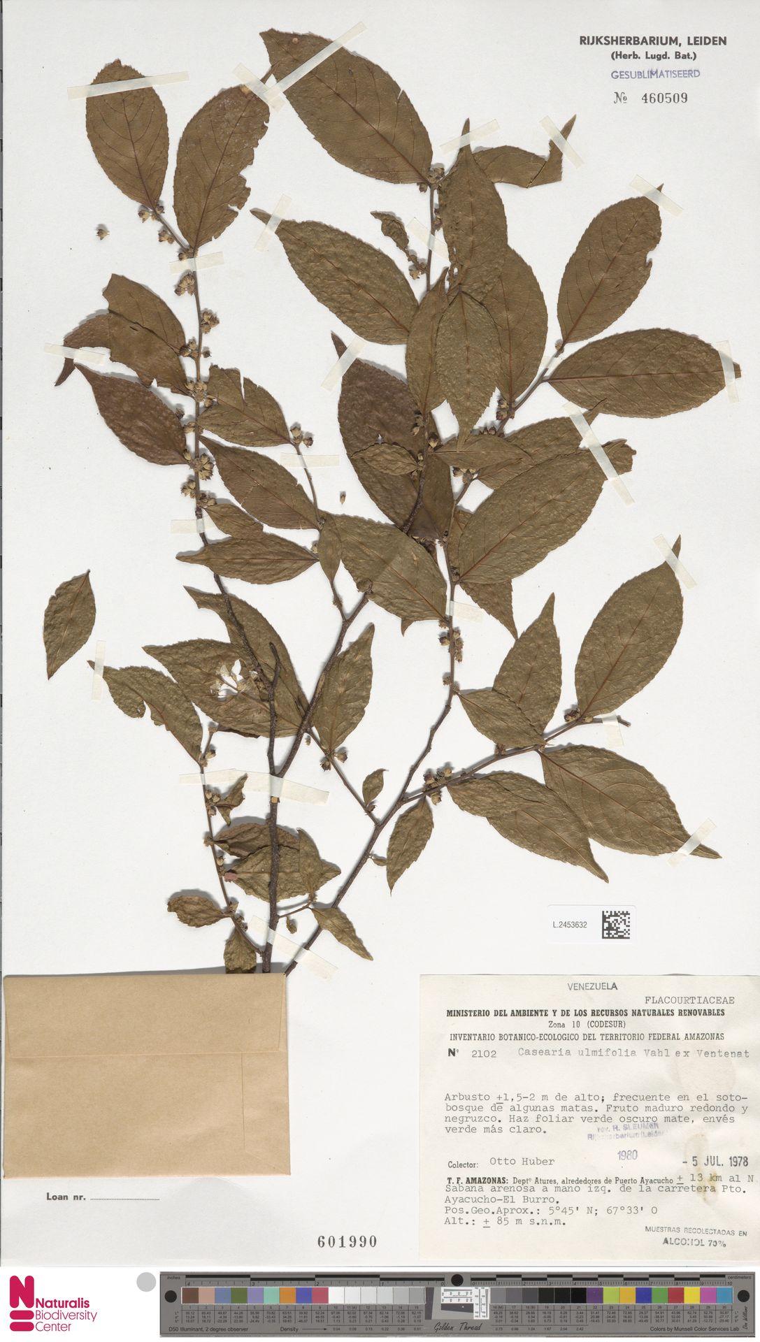 L.2453632 | Casearia ulmifolia Vahl ex Vent.