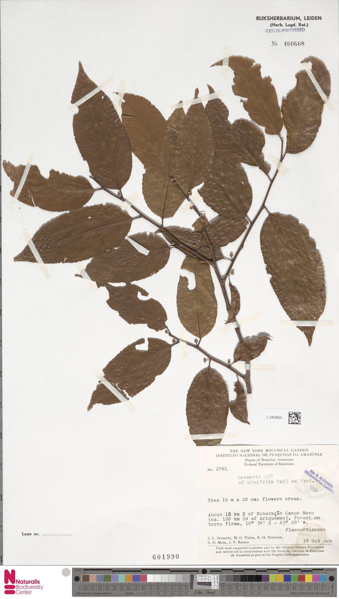 L.2453634 | Casearia ulmifolia Vahl ex Vent.