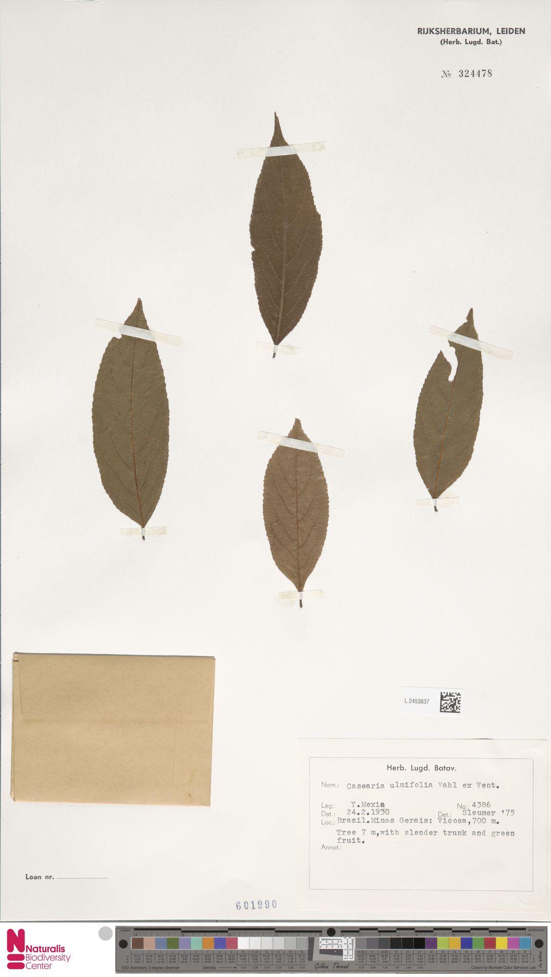 L.2453637 | Casearia ulmifolia Vahl ex Vent.