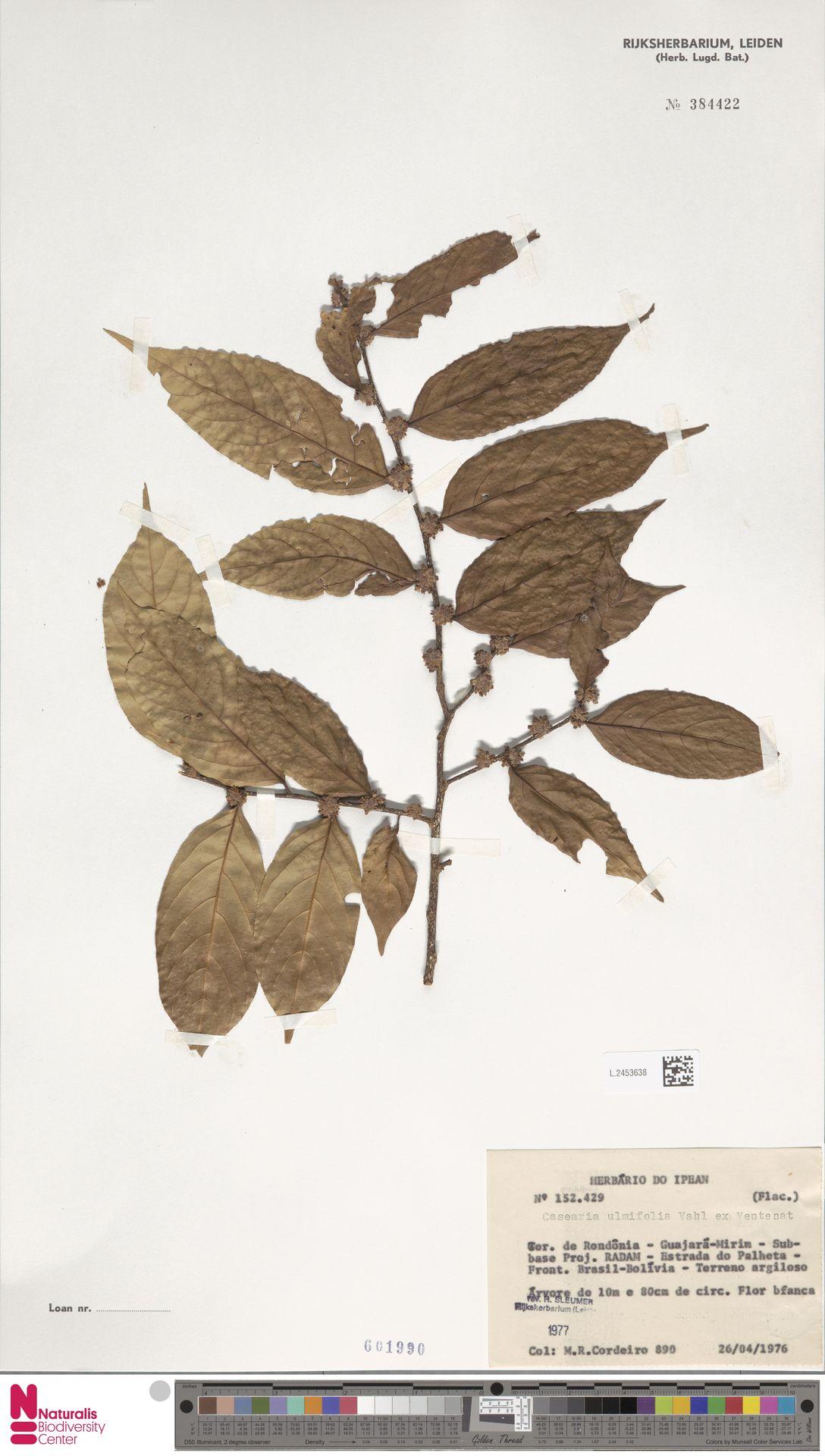 L.2453638 | Casearia ulmifolia Vahl ex Vent.