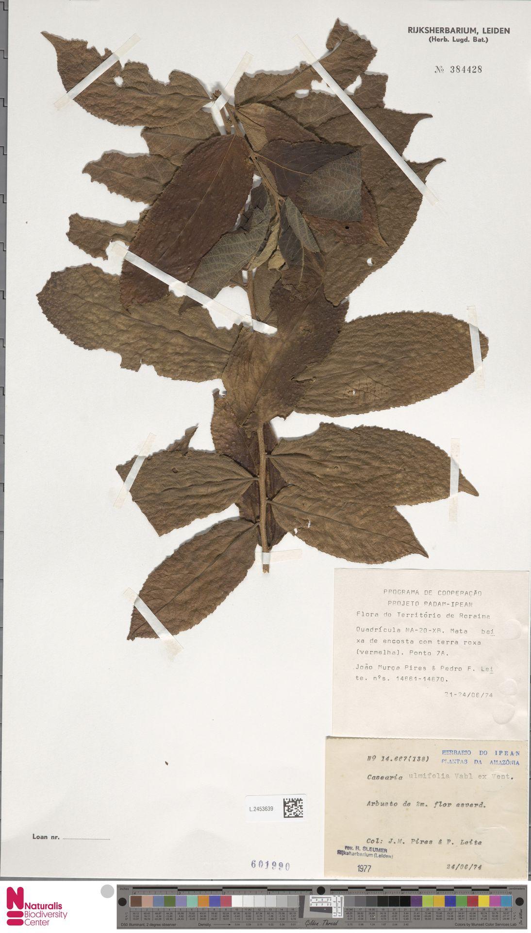 L.2453639 | Casearia ulmifolia Vahl ex Vent.