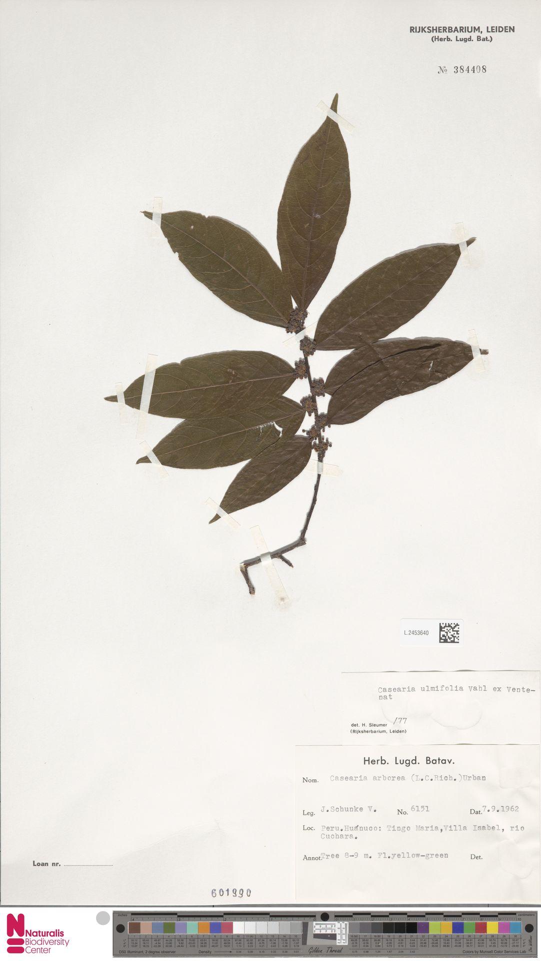 L.2453640 | Casearia ulmifolia Vahl ex Vent.
