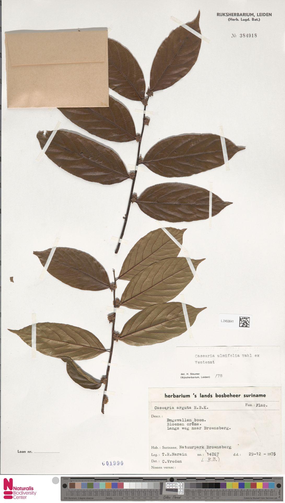 L.2453641 | Casearia ulmifolia Vahl ex Vent.