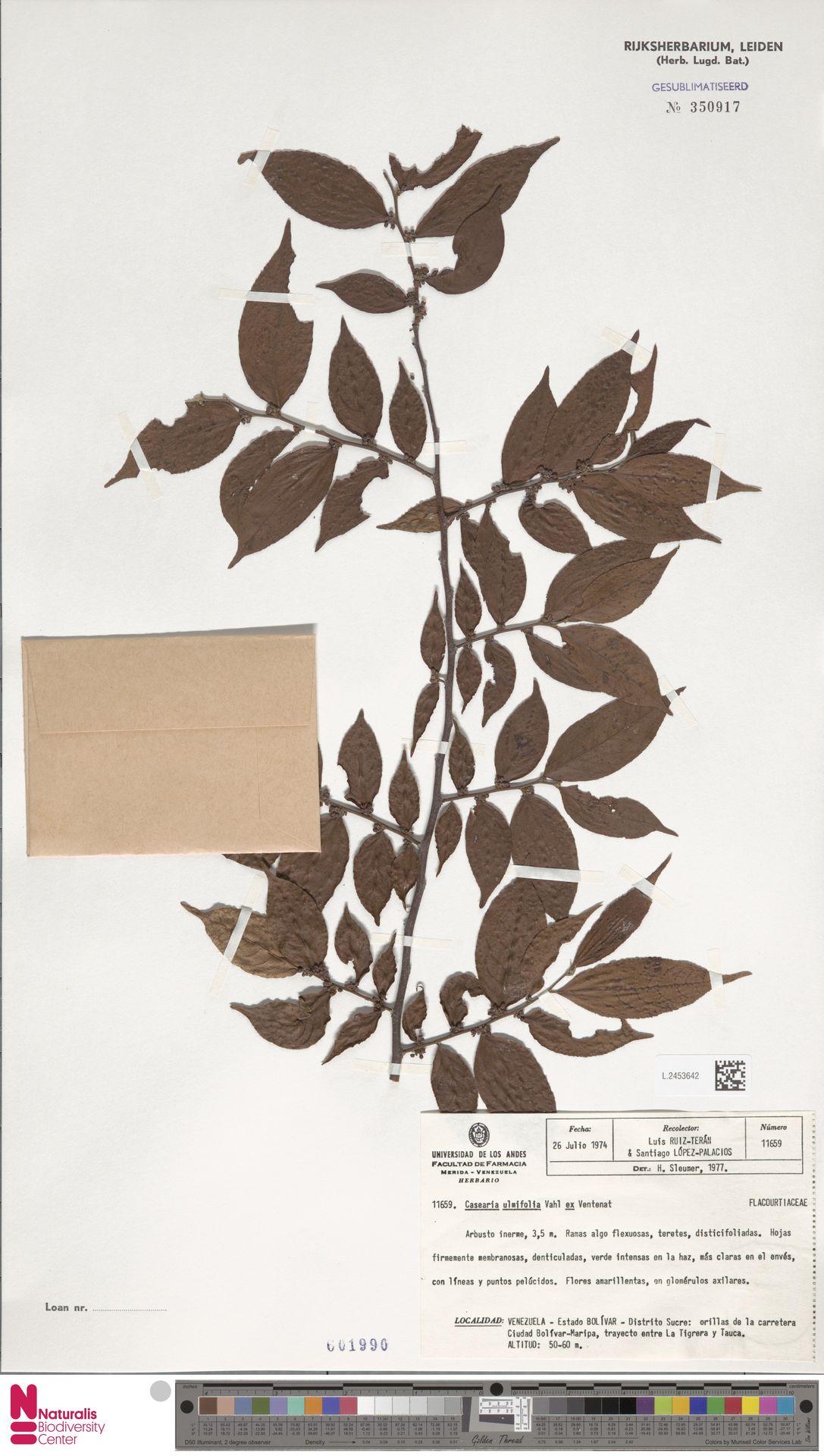 L.2453642 | Casearia ulmifolia Vahl ex Vent.