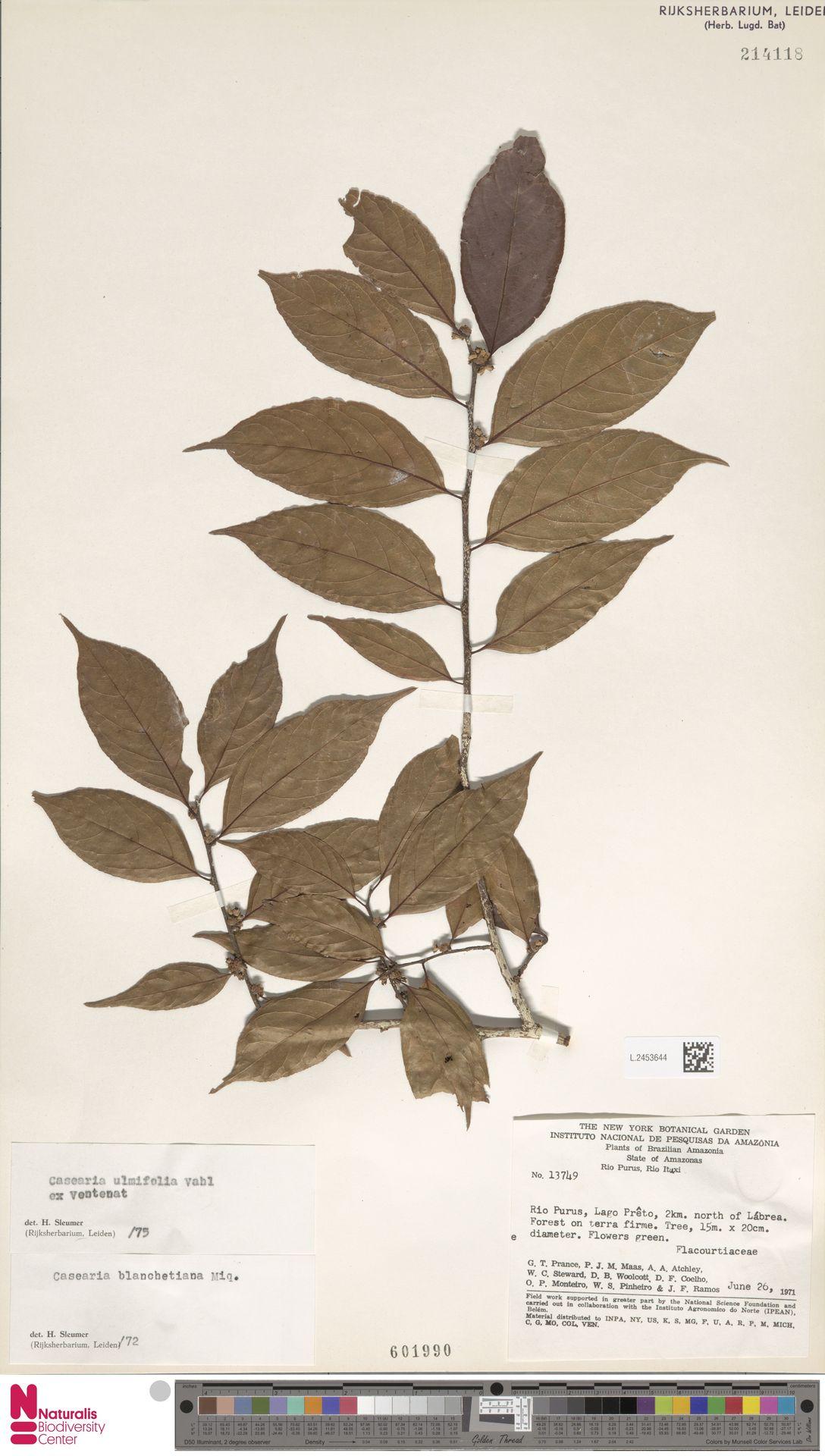 L.2453644 | Casearia ulmifolia Vahl ex Vent.
