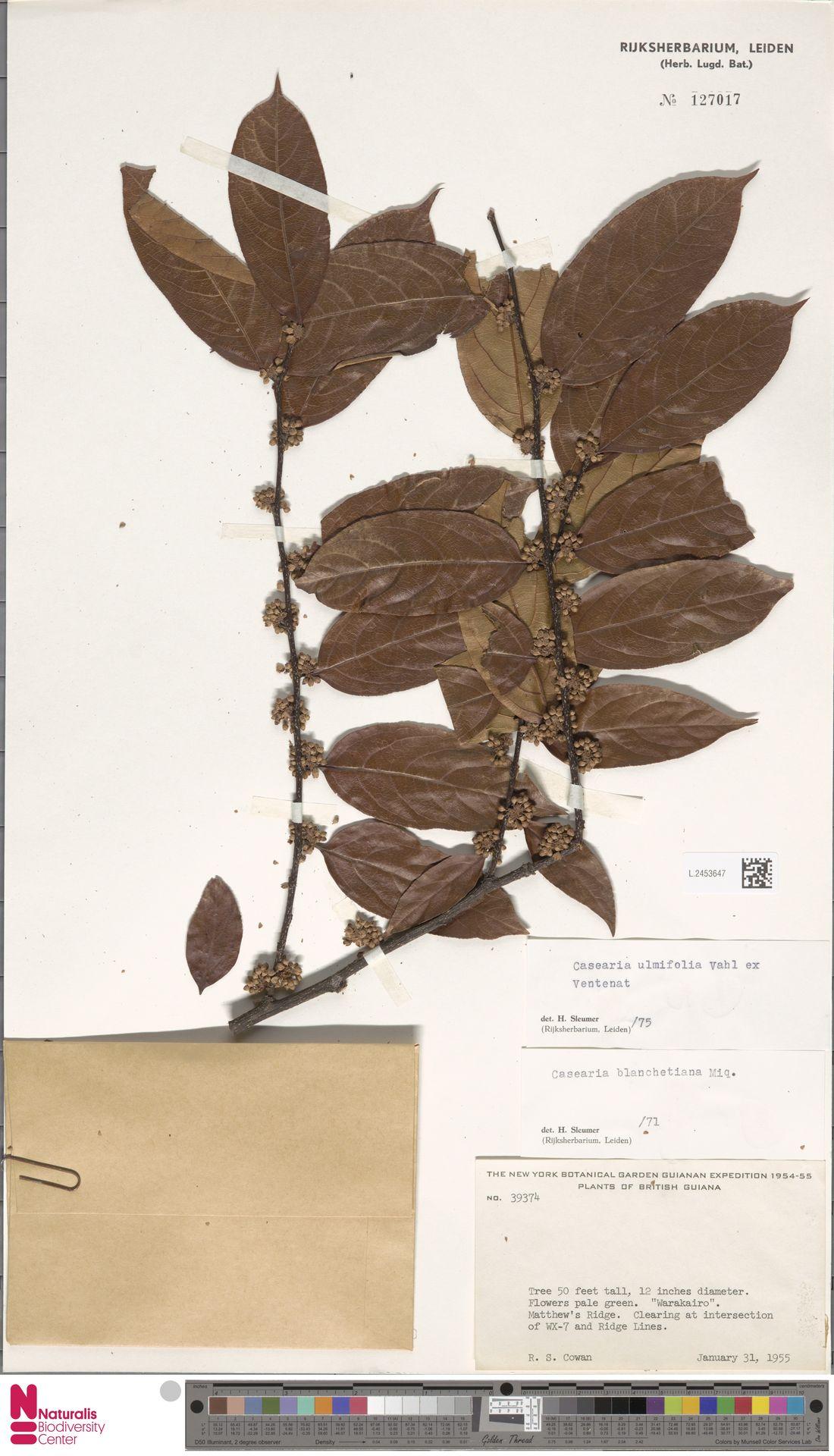 L.2453647 | Casearia ulmifolia Vahl ex Vent.
