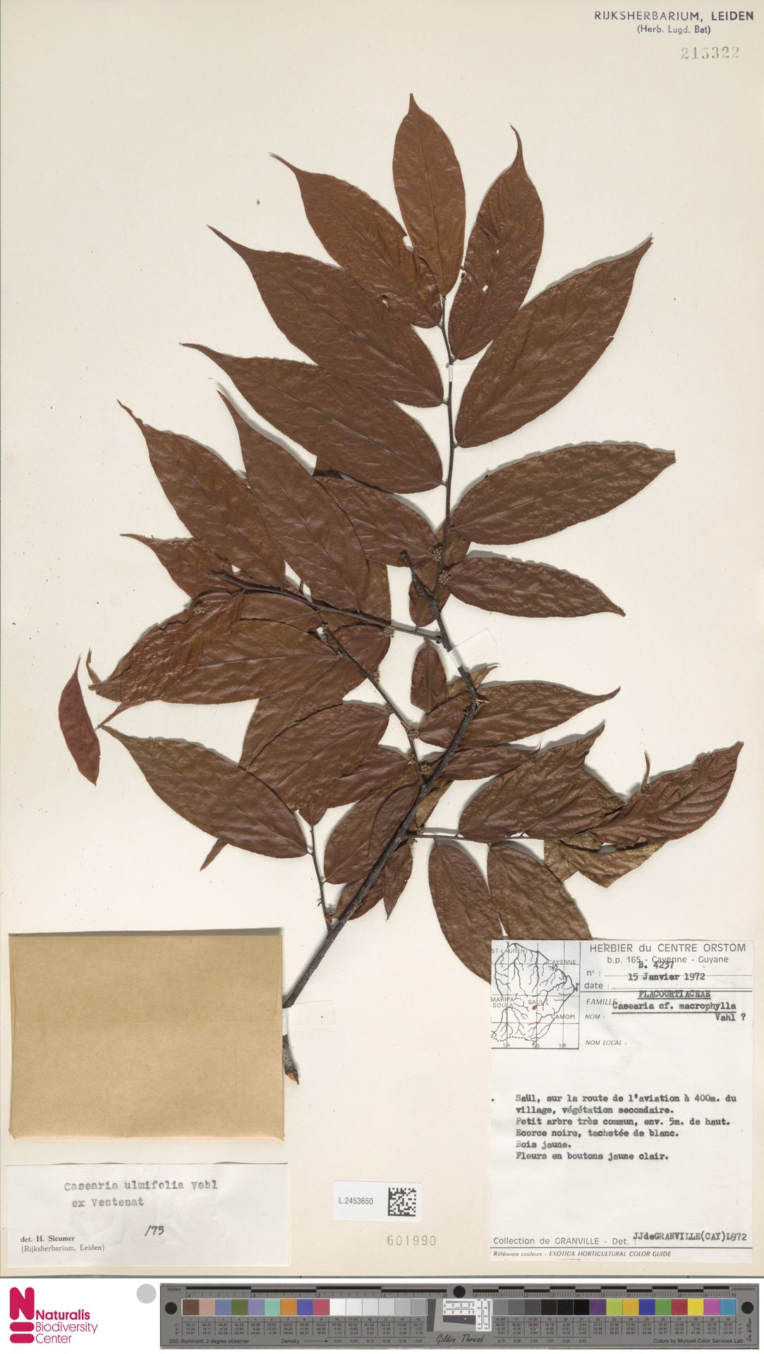 L.2453650 | Casearia ulmifolia Vahl ex Vent.