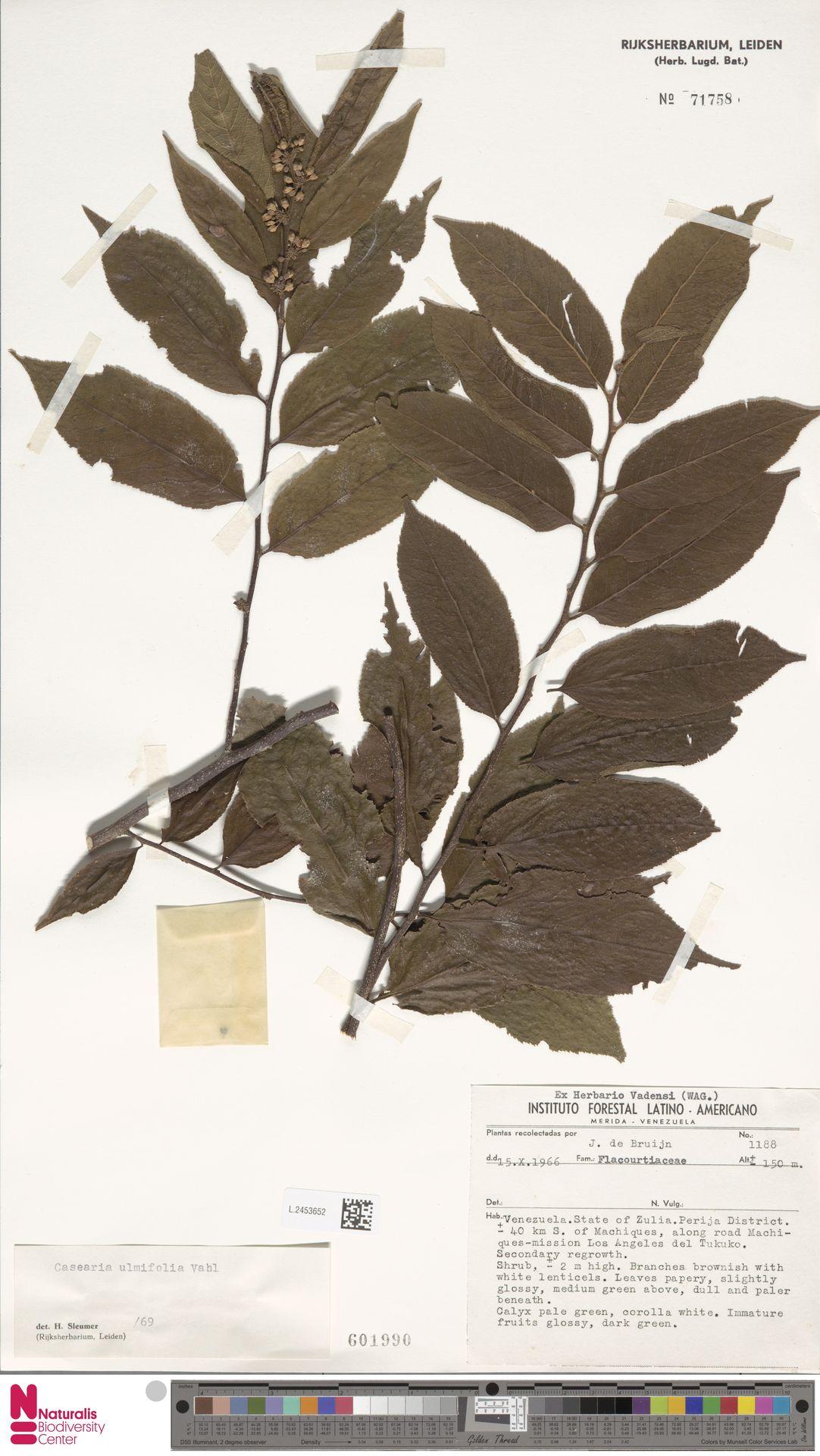 L.2453652 | Casearia ulmifolia Vahl ex Vent.