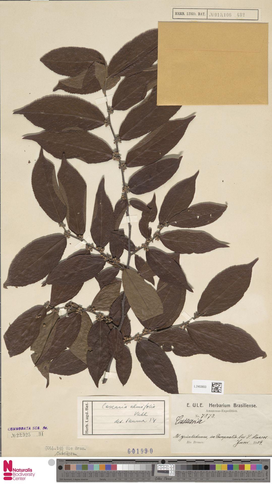 L.2453653 | Casearia ulmifolia Vahl ex Vent.