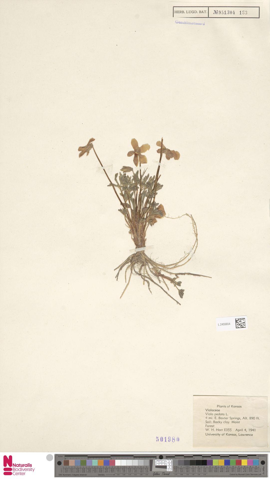 L.2455654 | Viola pedata L.