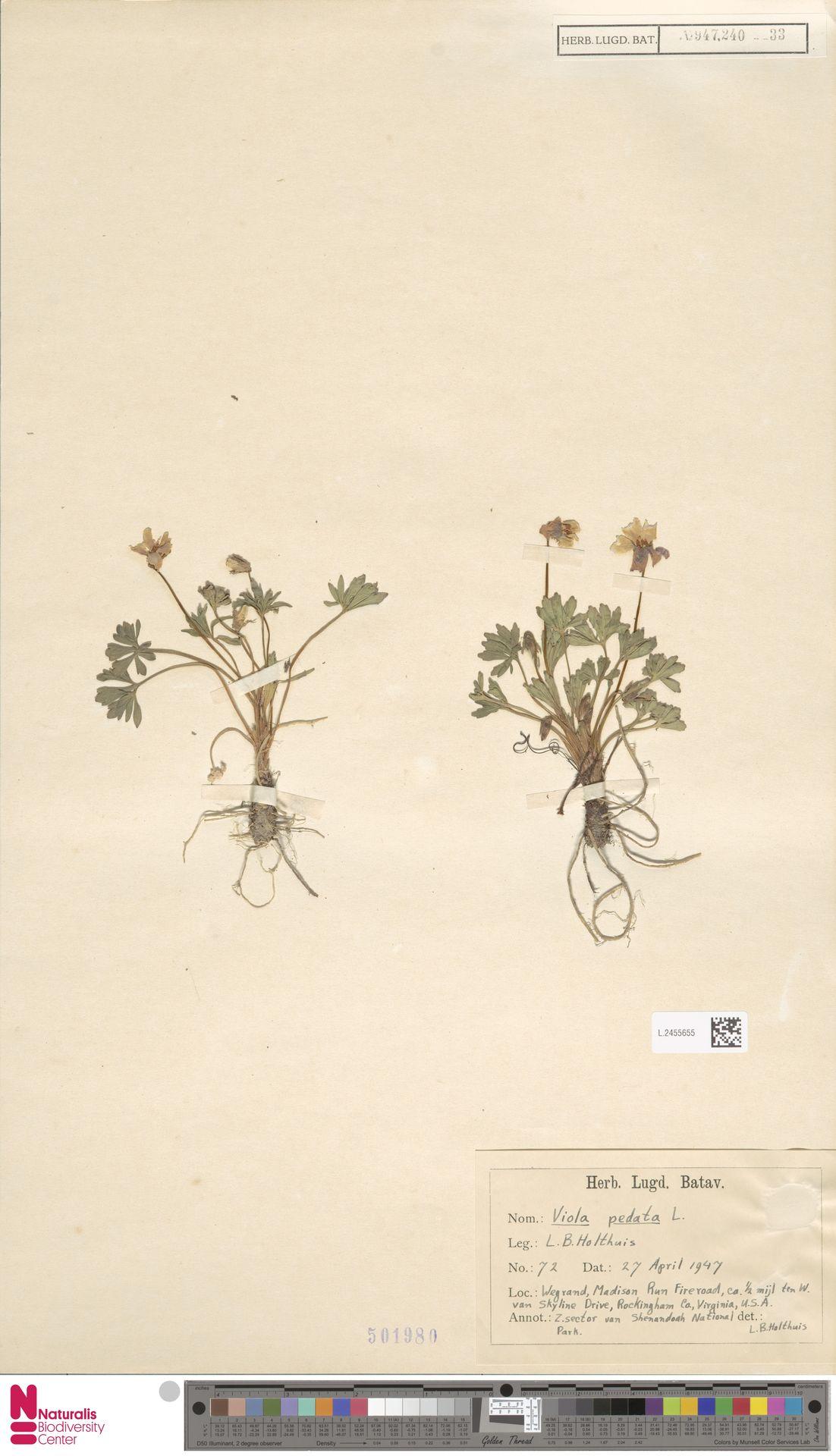 L.2455655 | Viola pedata L.