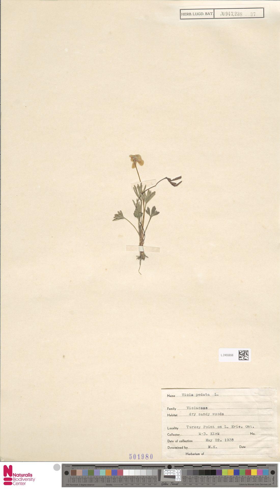 L.2455656 | Viola pedata L.