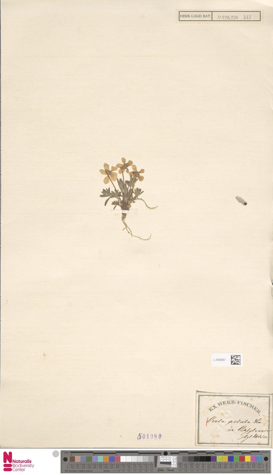 L.2455657 | Viola pedata L.