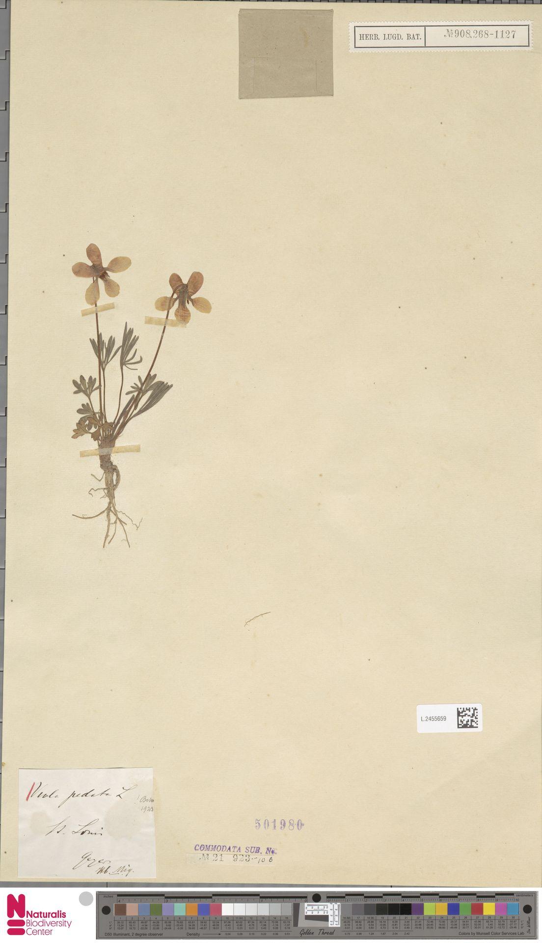 L.2455659 | Viola pedata L.