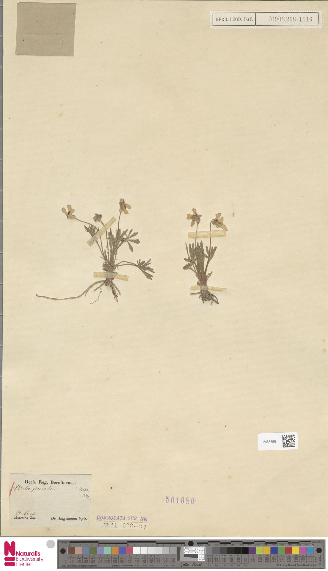 L.2455660 | Viola pedata L.