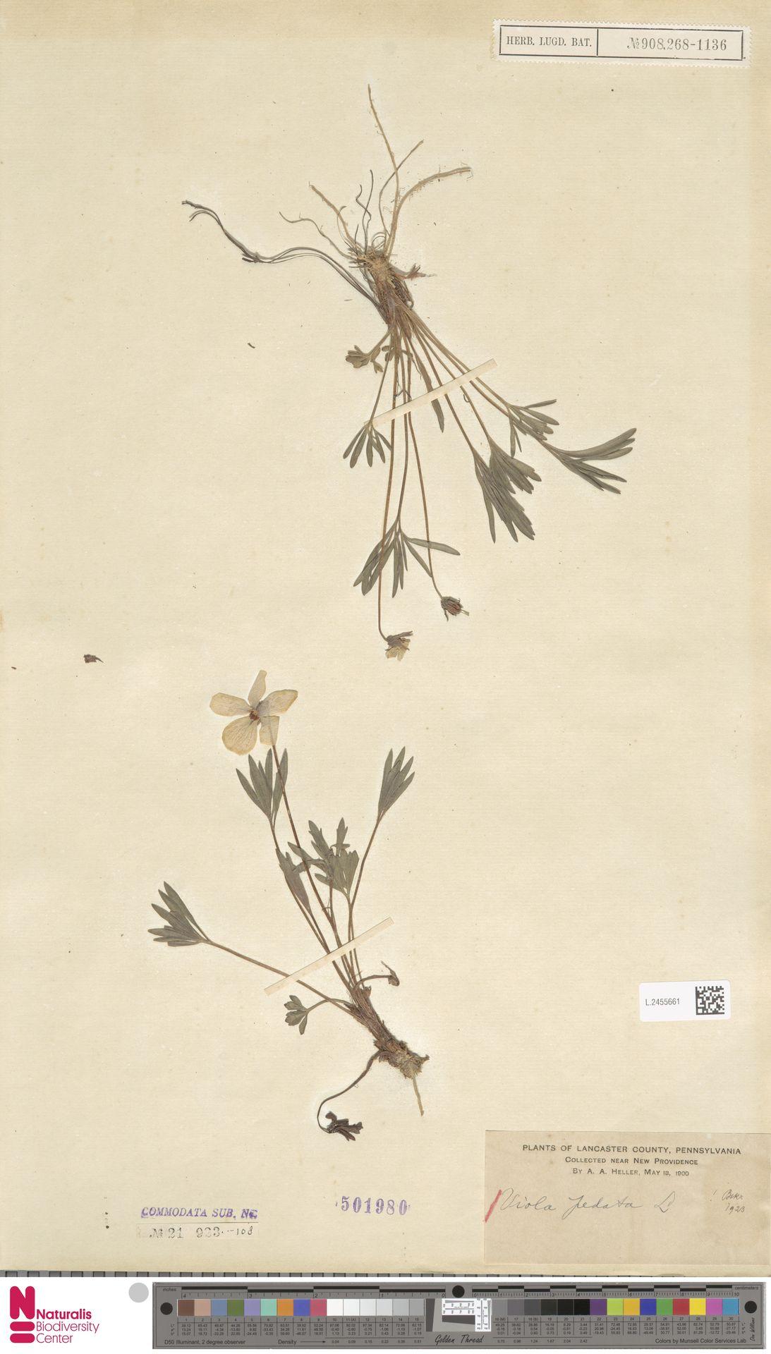 L.2455661 | Viola pedata L.