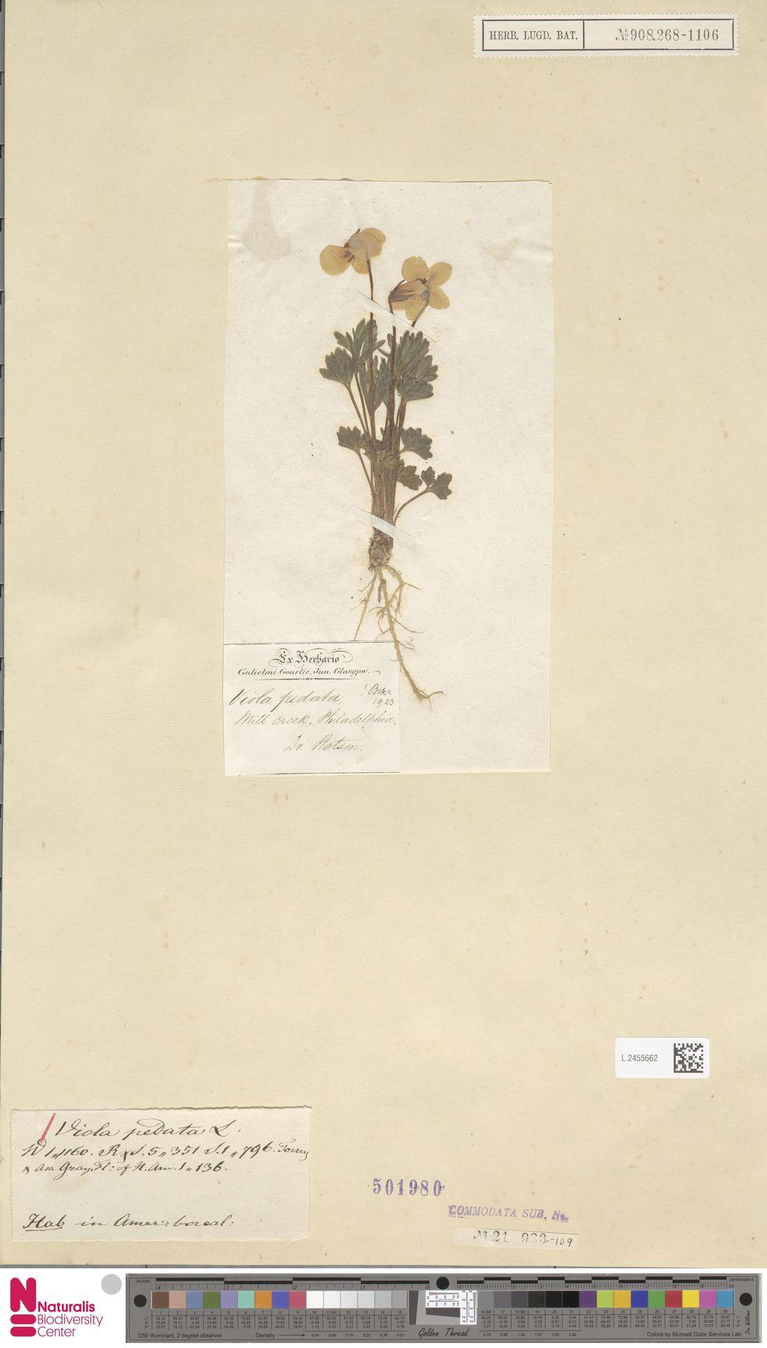 L.2455662 | Viola pedata L.