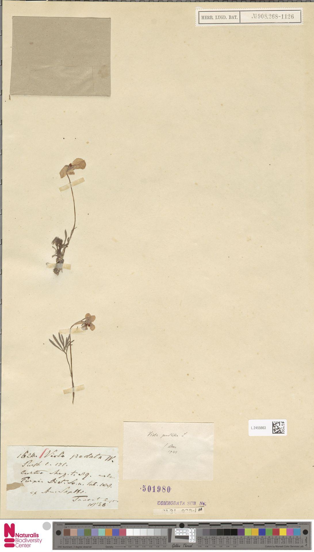 L.2455663 | Viola pedata L.