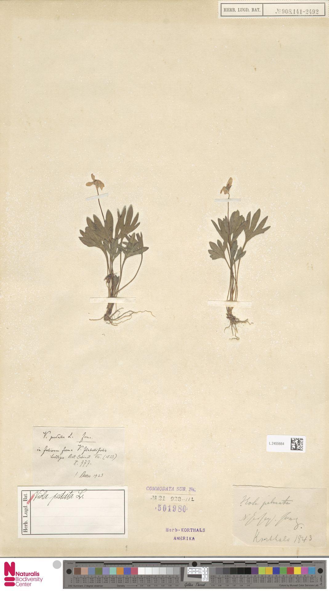 L.2455664 | Viola pedata L.