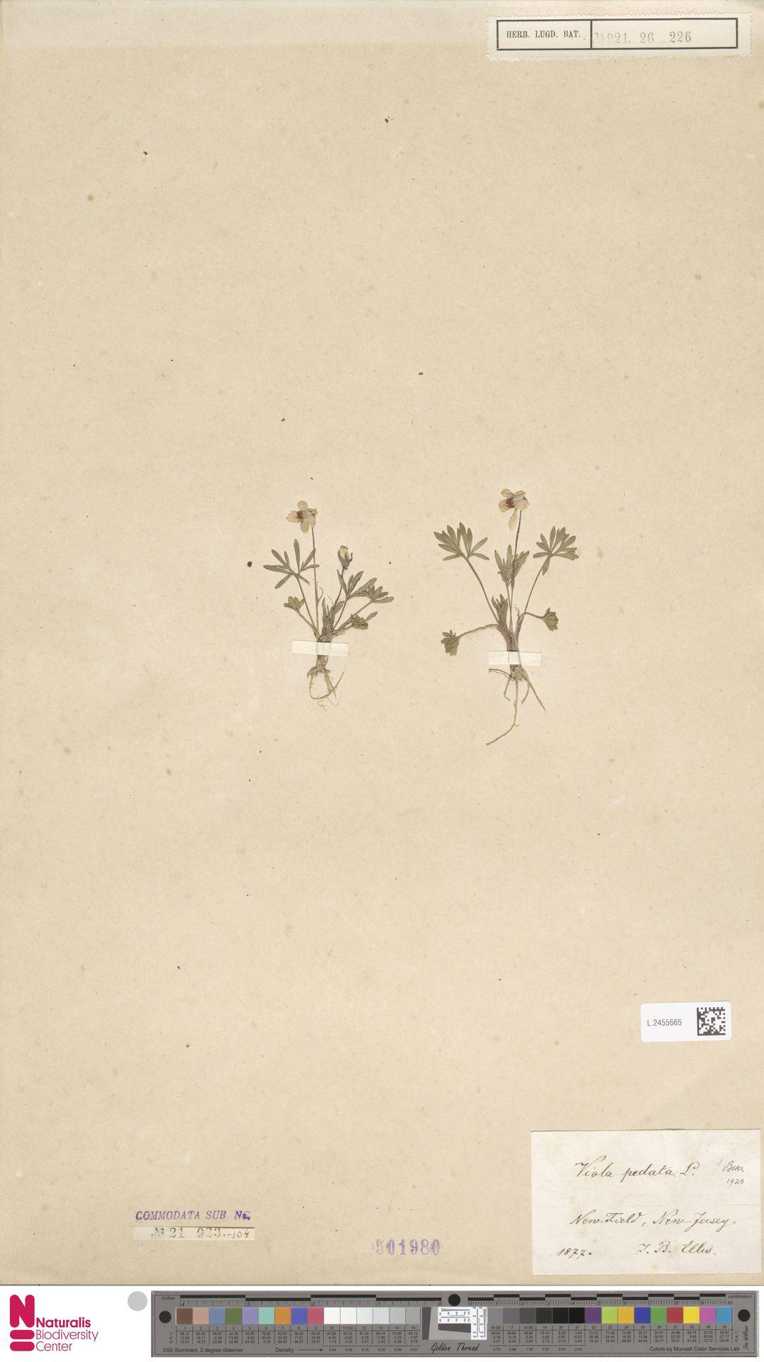 L.2455665 | Viola pedata L.