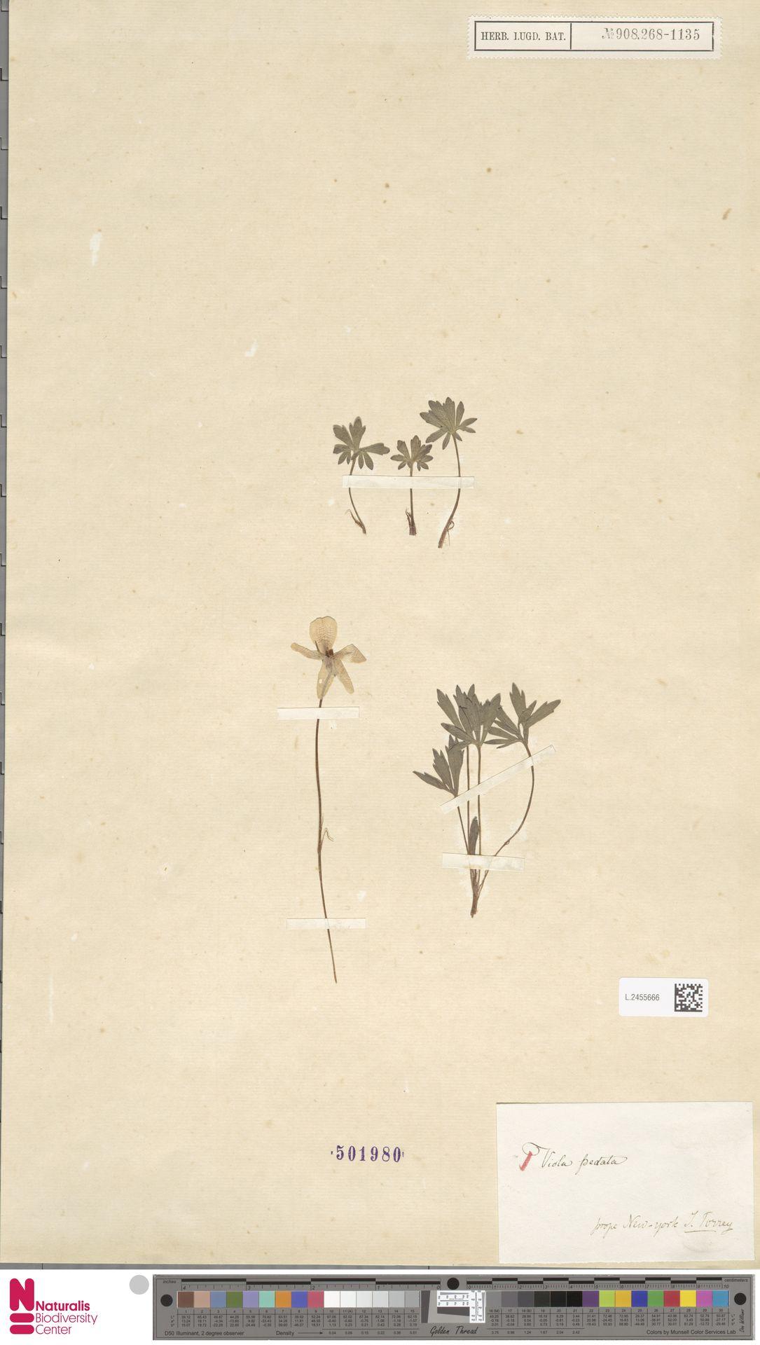 L.2455666 | Viola pedata L.