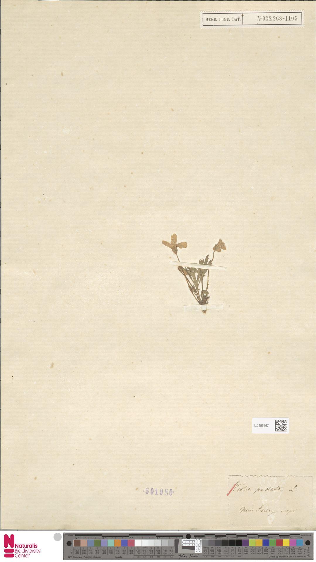L.2455667 | Viola pedata L.
