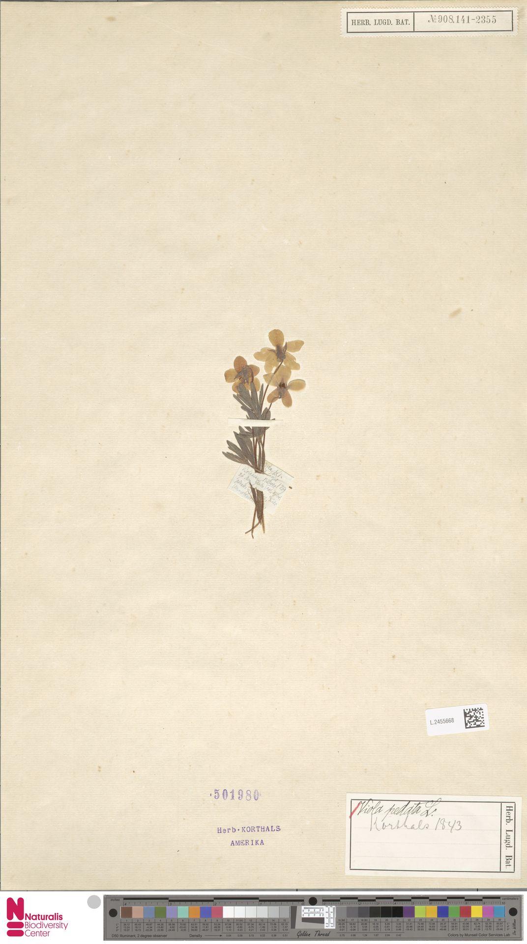 L.2455668 | Viola pedata L.