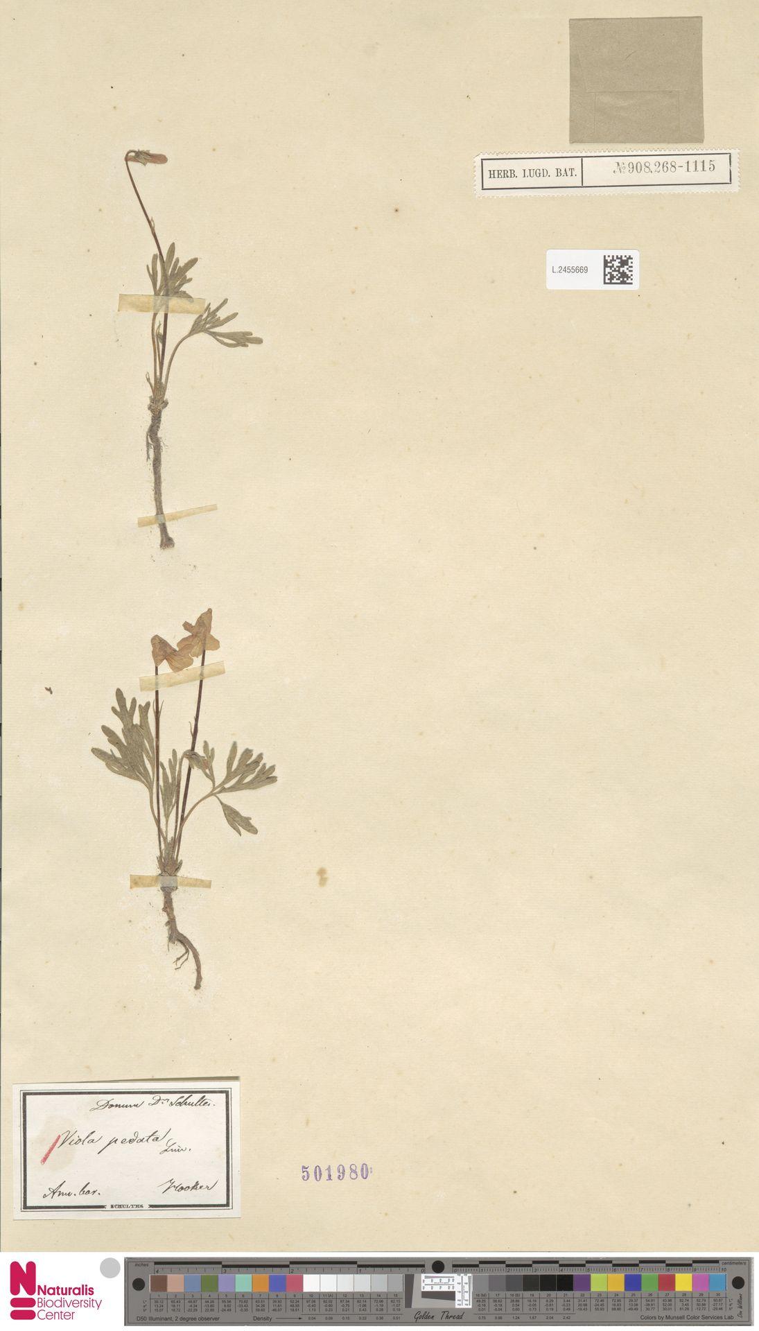 L.2455669 | Viola pedata L.
