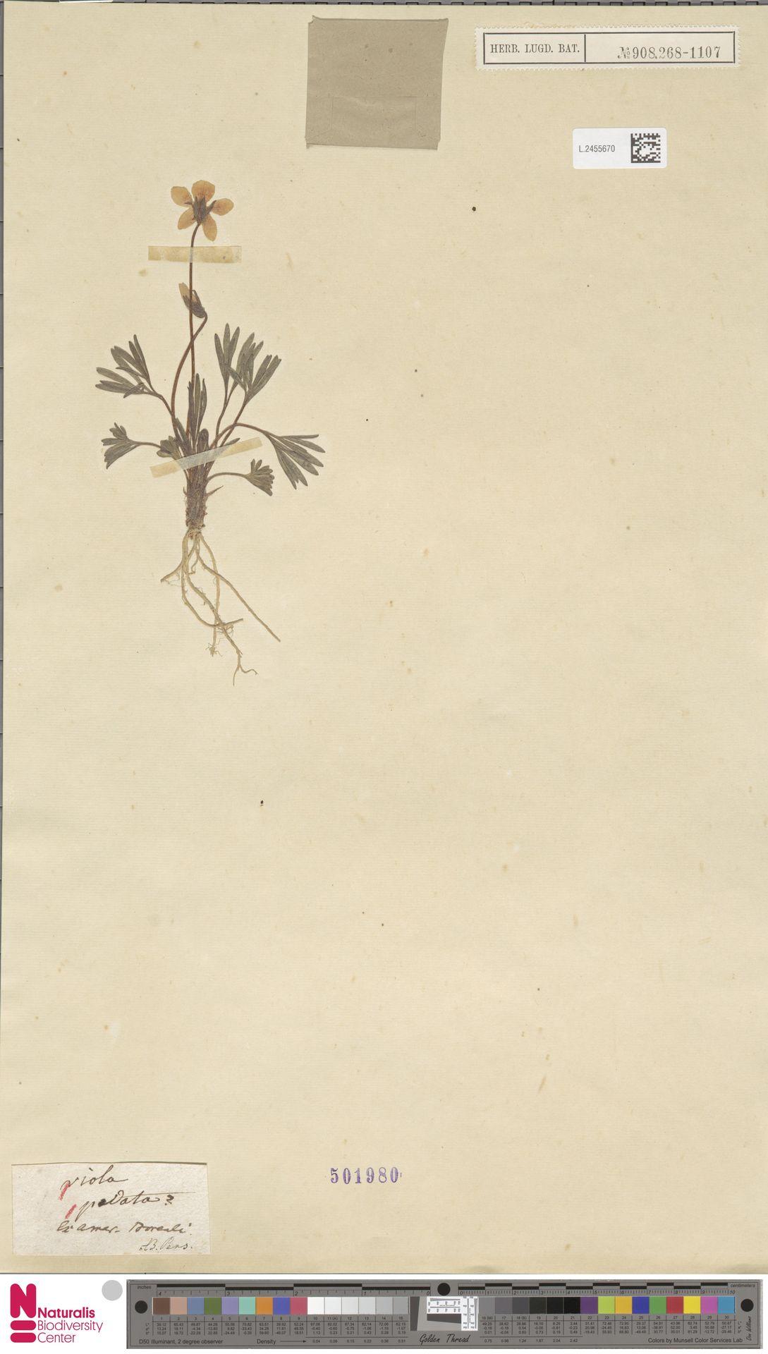 L.2455670 | Viola pedata L.
