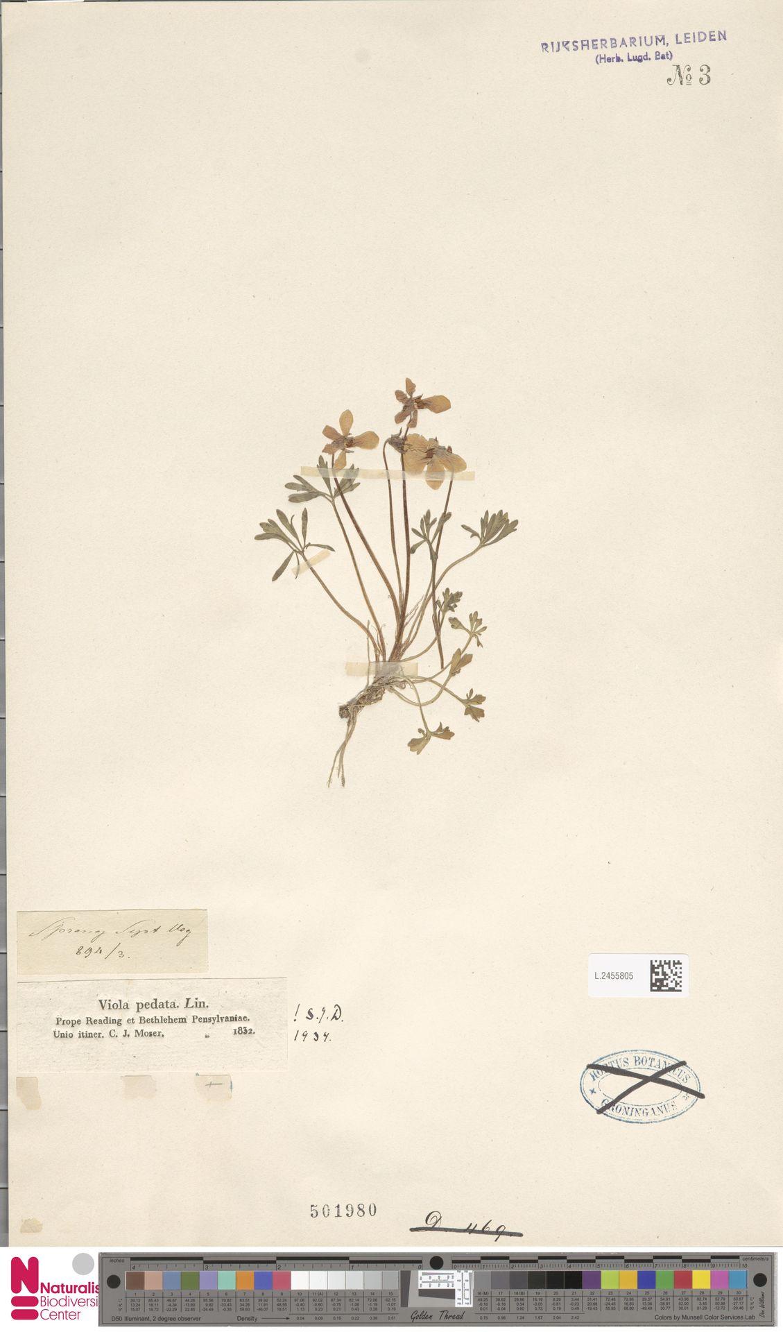 L.2455805 | Viola pedata L.