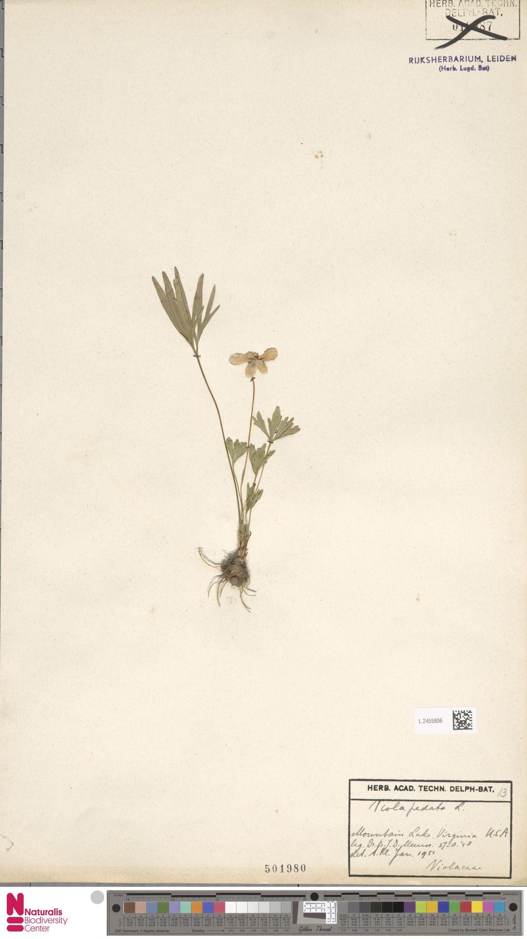 L.2455806 | Viola pedata L.