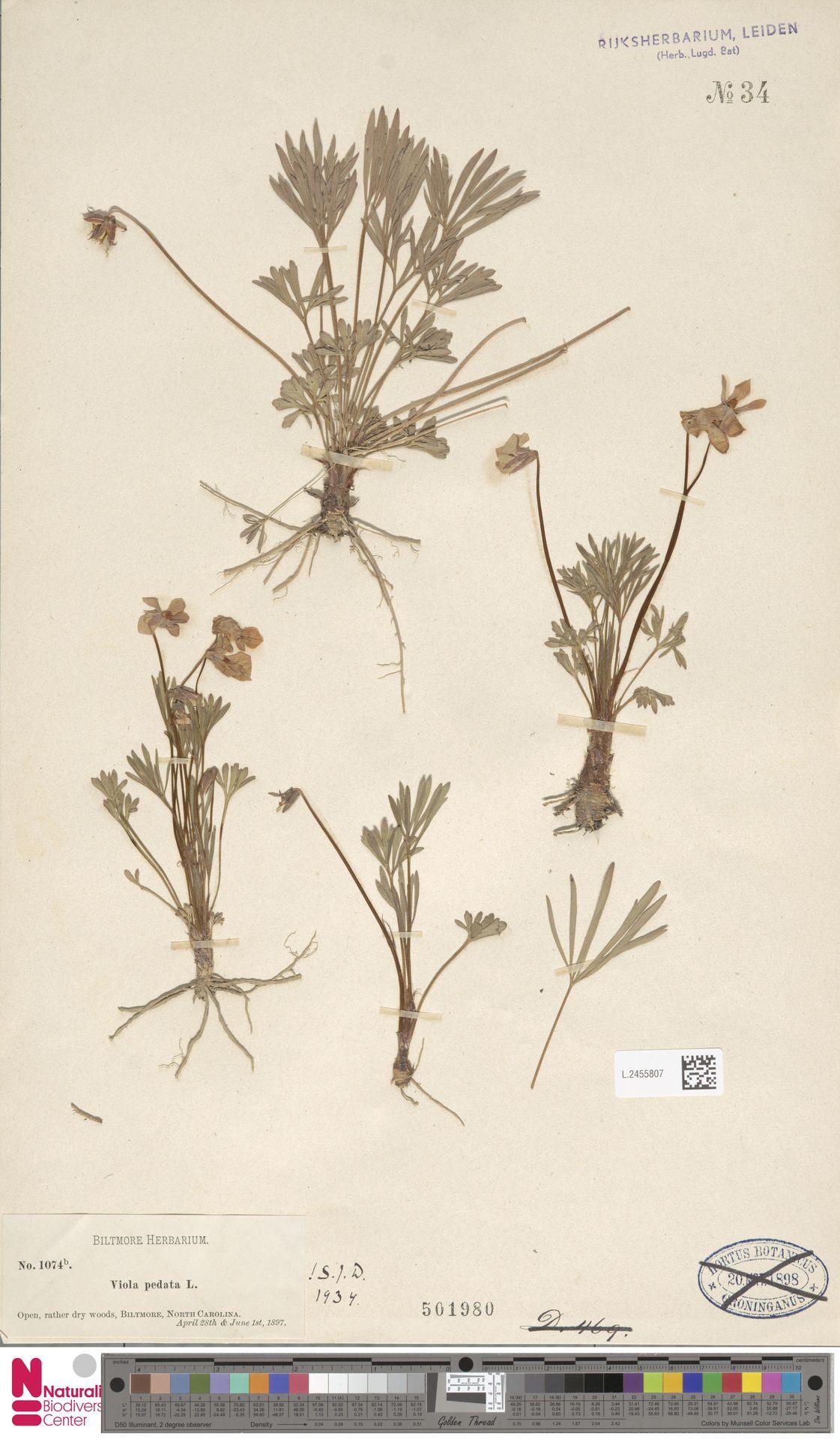L.2455807 | Viola pedata L.