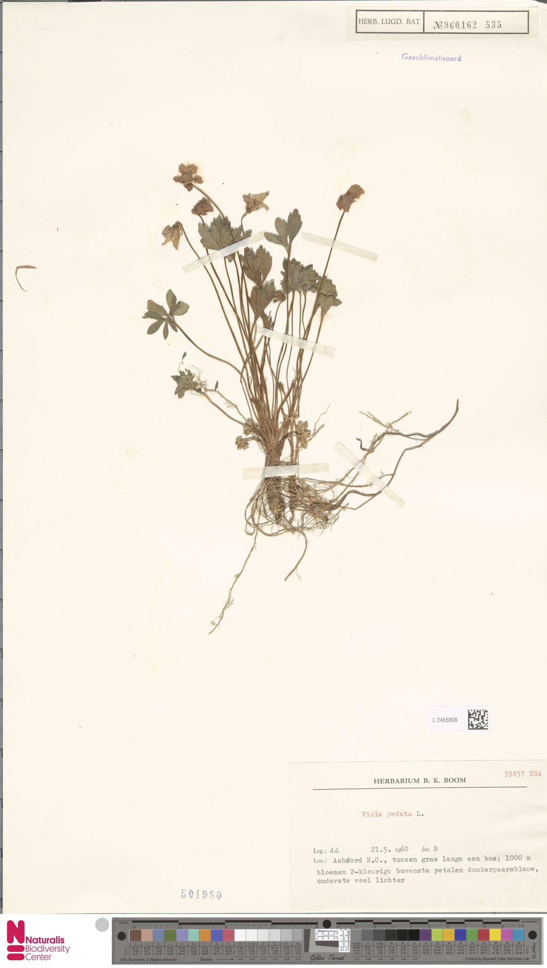 L.2455808 | Viola pedata L.