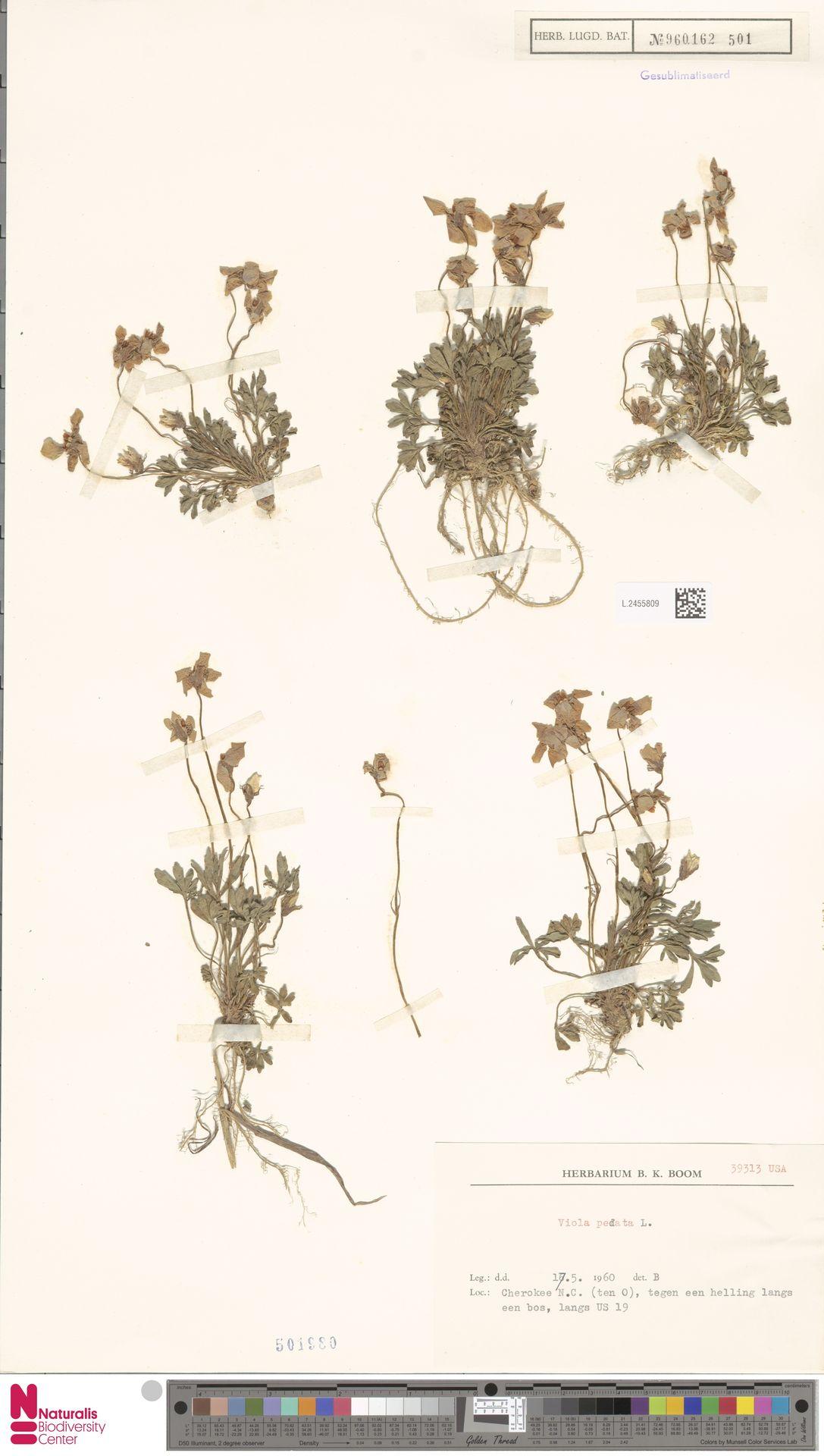 L.2455809 | Viola pedata L.