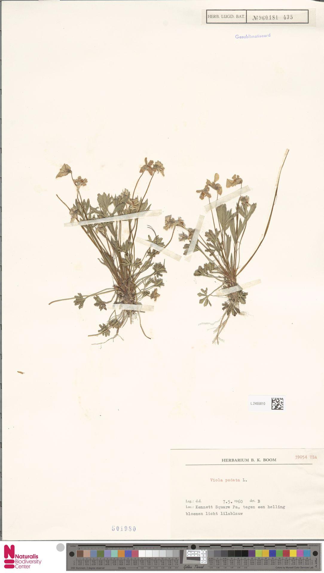L.2455810 | Viola pedata L.