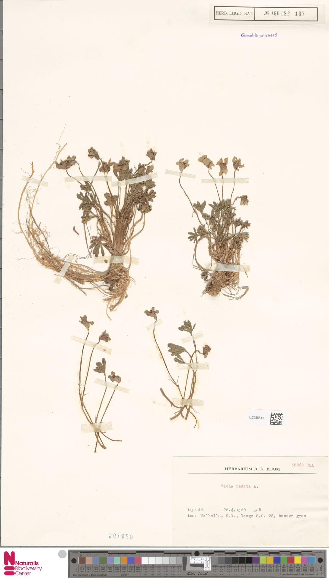 L.2455811 | Viola pedata L.
