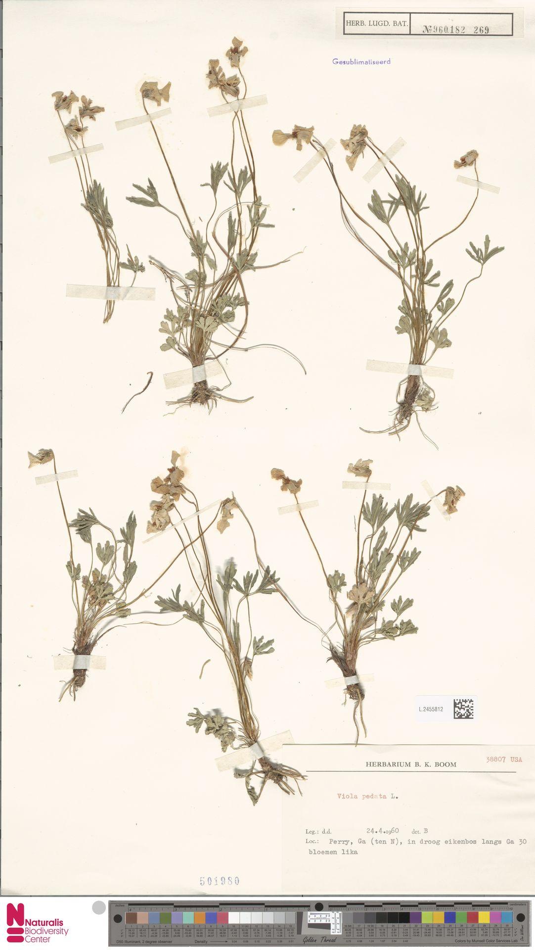 L.2455812 | Viola pedata L.