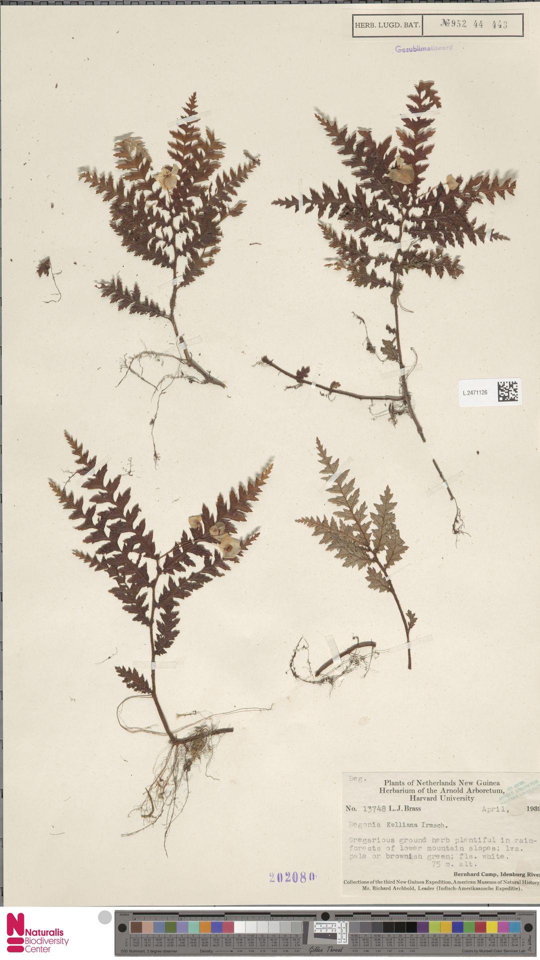 L.2471126 | Begonia kelliana Irmsch.