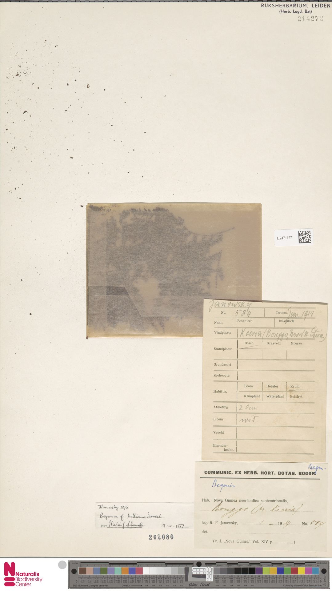 L.2471127 | Begonia kelliana Irmsch.