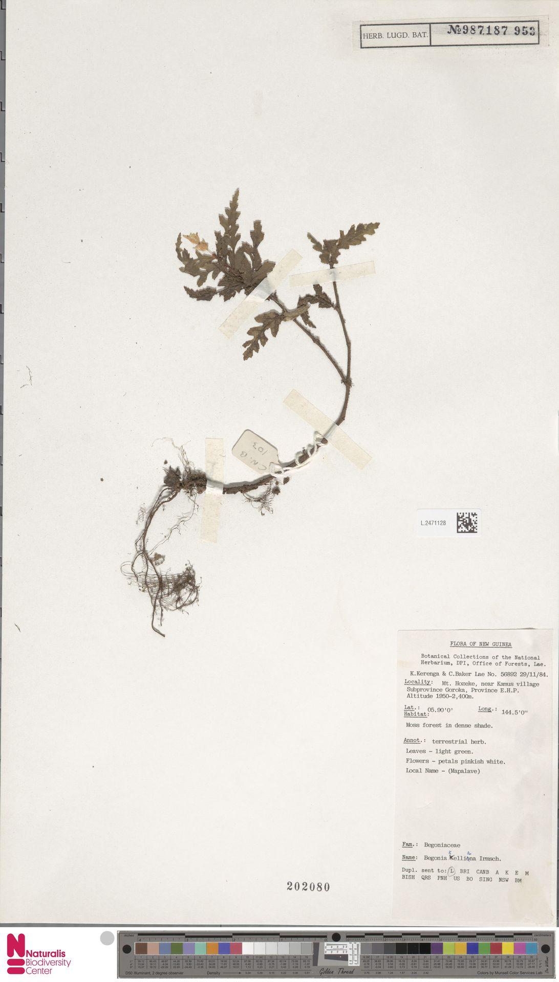 L.2471128 | Begonia kelliana Irmsch.