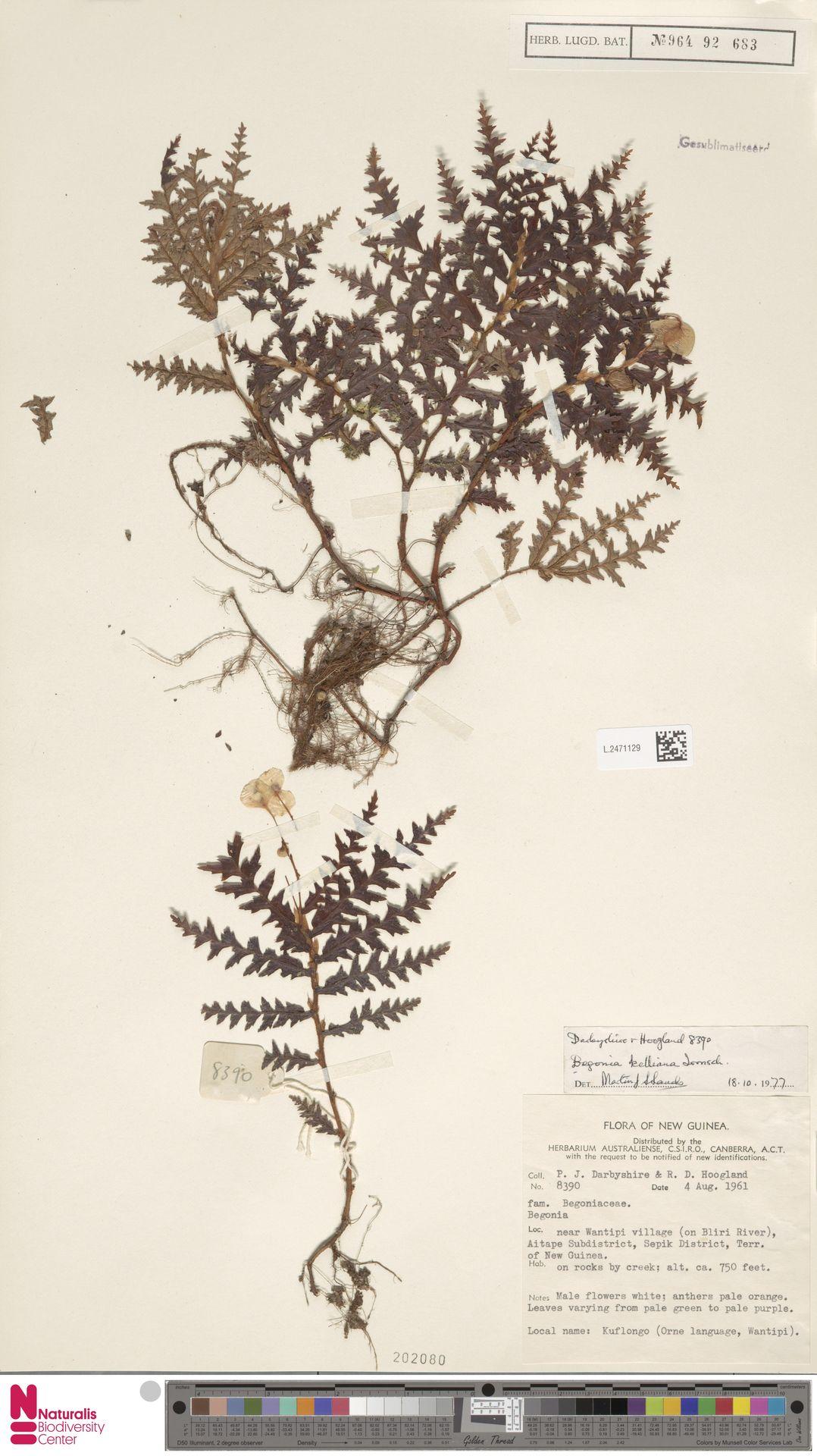 L.2471129 | Begonia kelliana Irmsch.