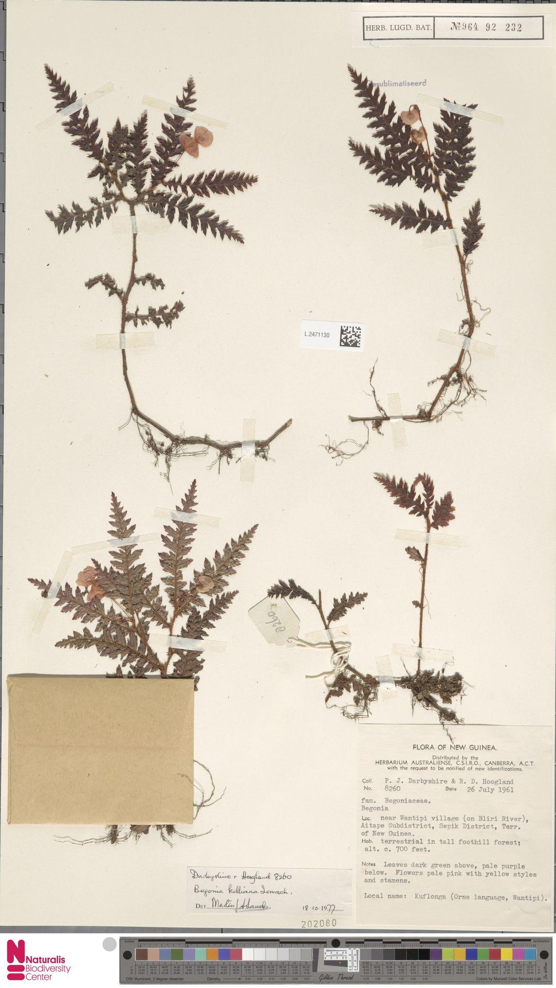 L.2471130 | Begonia kelliana Irmsch.