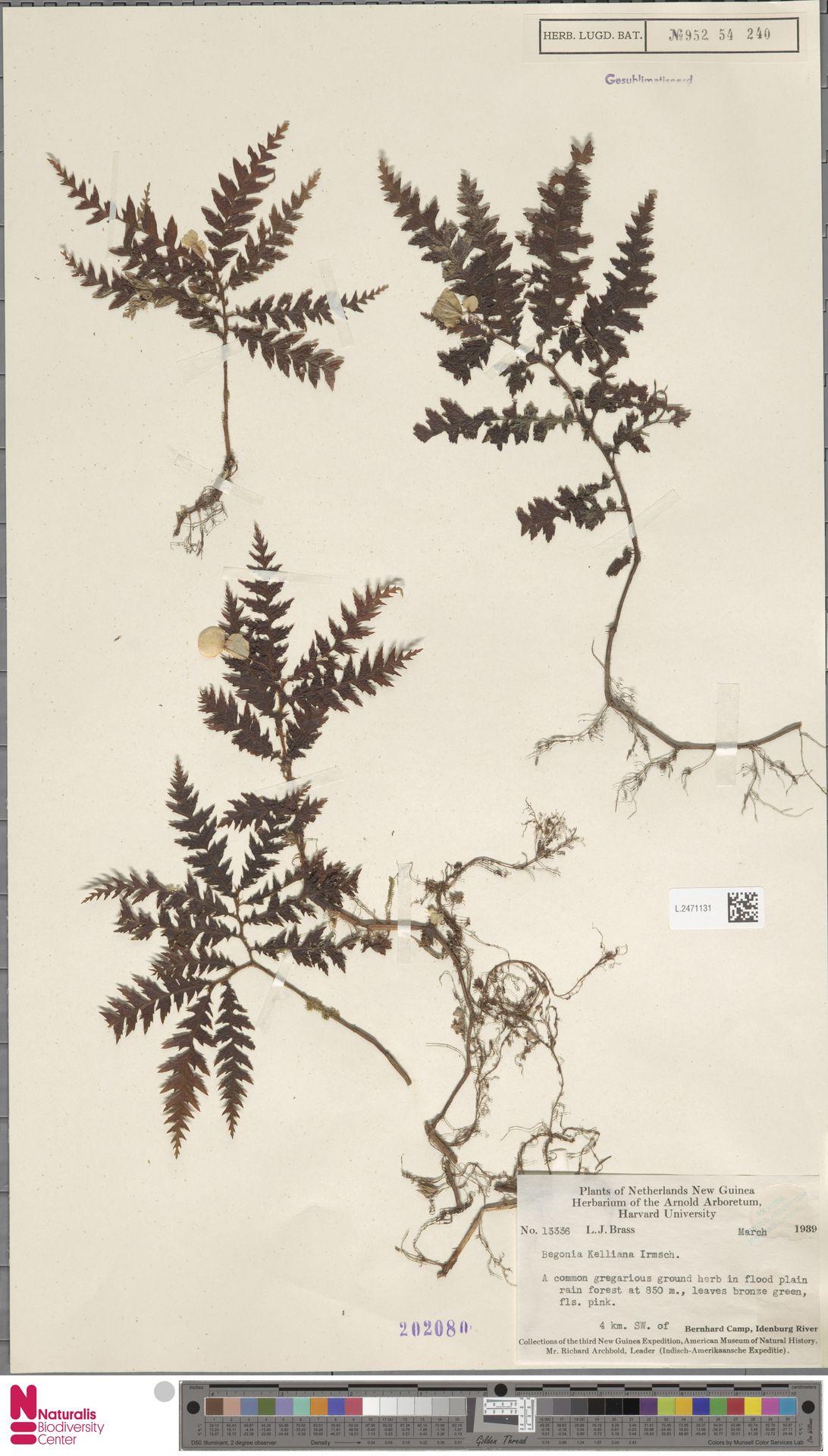 L.2471131 | Begonia kelliana Irmsch.